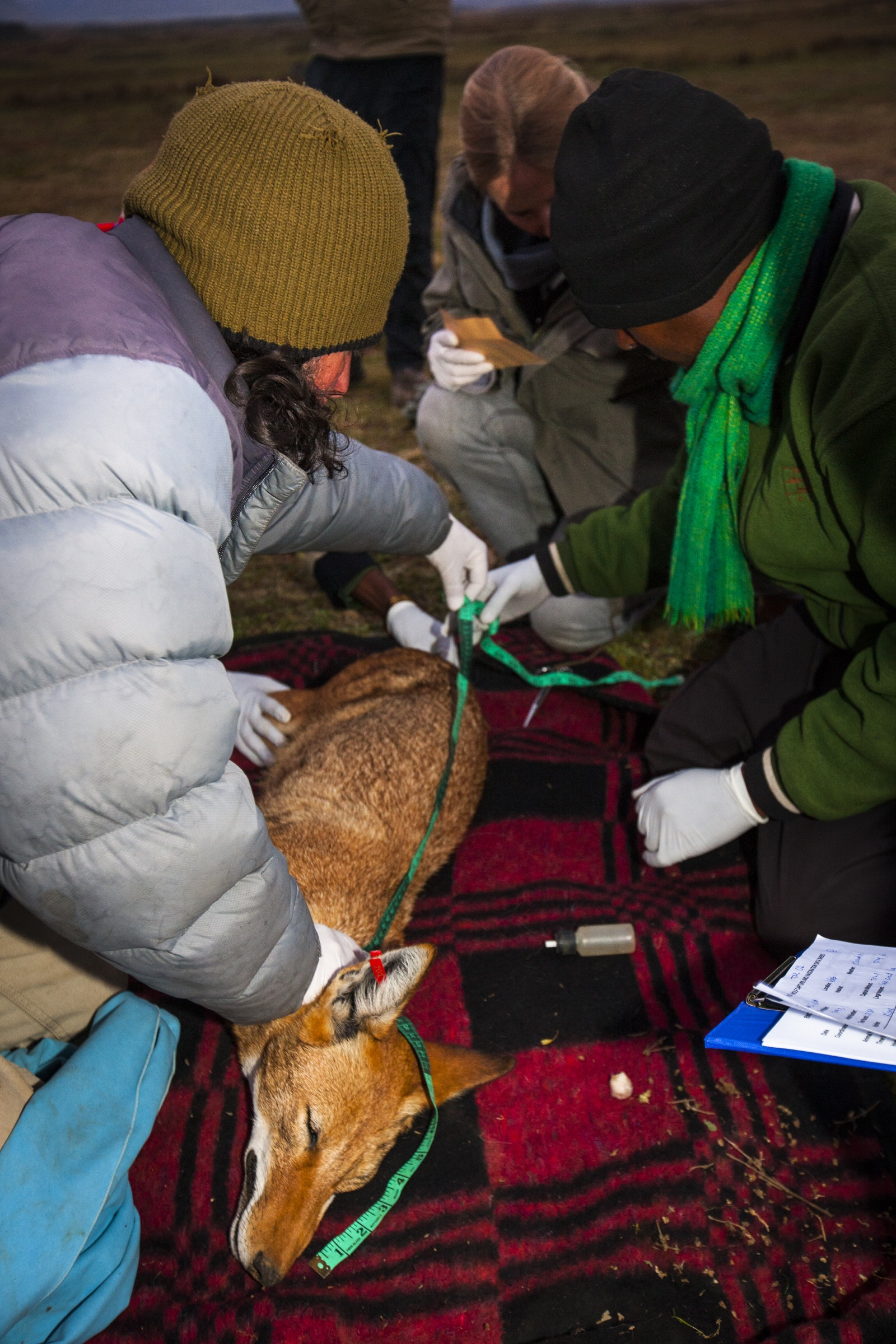 Researchers from the Ethiopian Wolf Conservation Program work quickly to collect measurements and blood samples from a sedated wolf before its release.