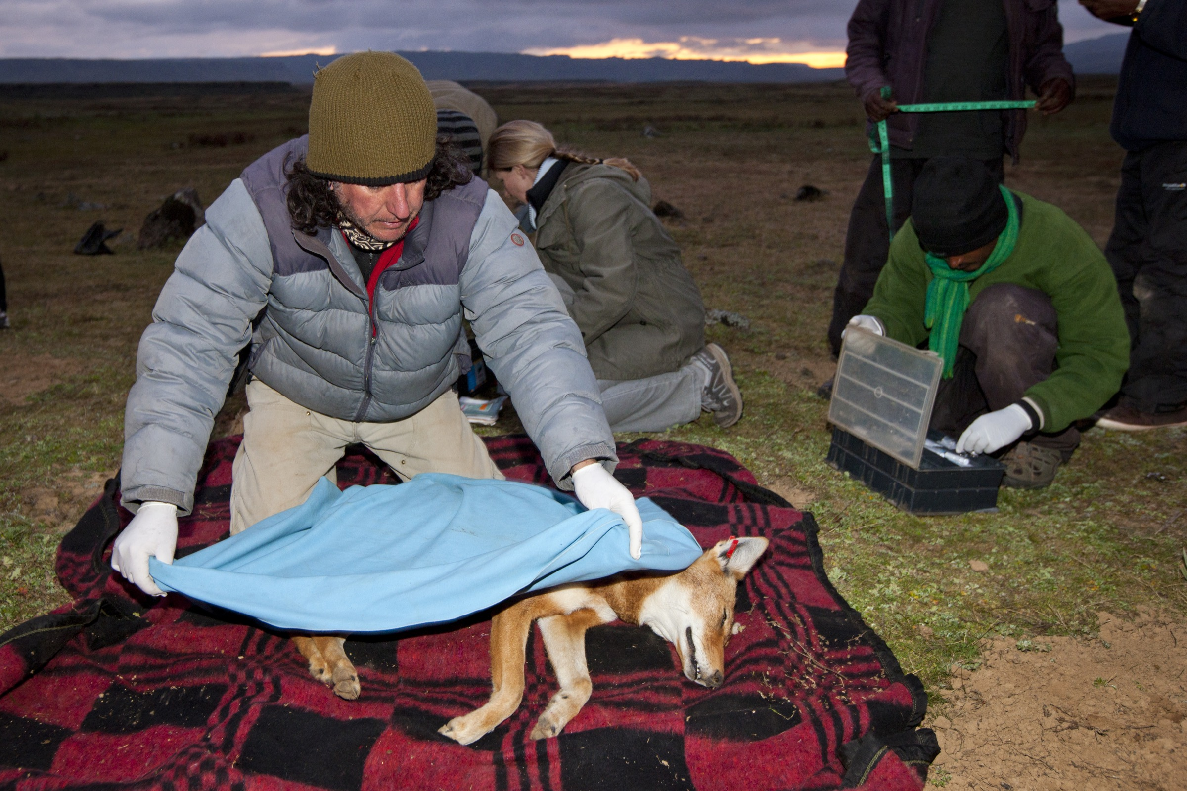 Claudio Sillero, the cofounder of the Ethiopian Wolf Conservation Project, covers a sedated female Ethiopian wolf with a blanket prior to her release.