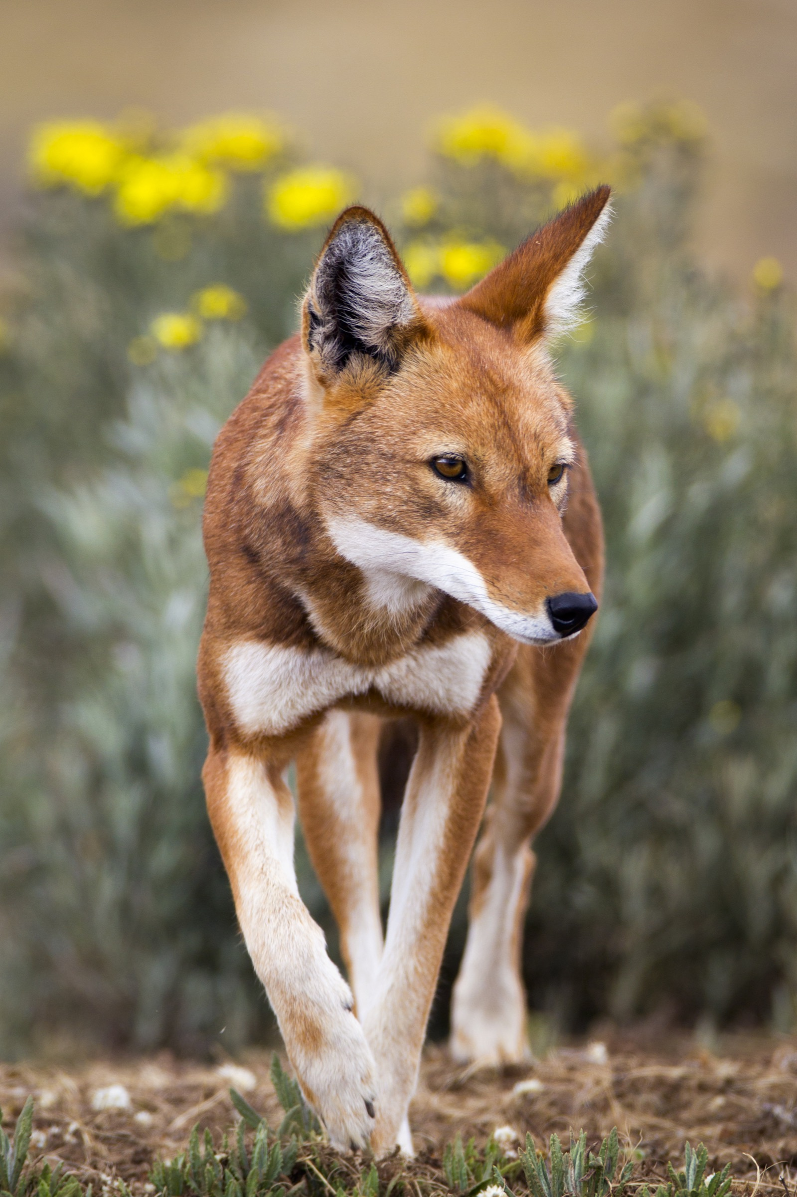 Descended from gray wolves, Ethiopian wolves have adapted to life in the Ethiopian Highlands.
