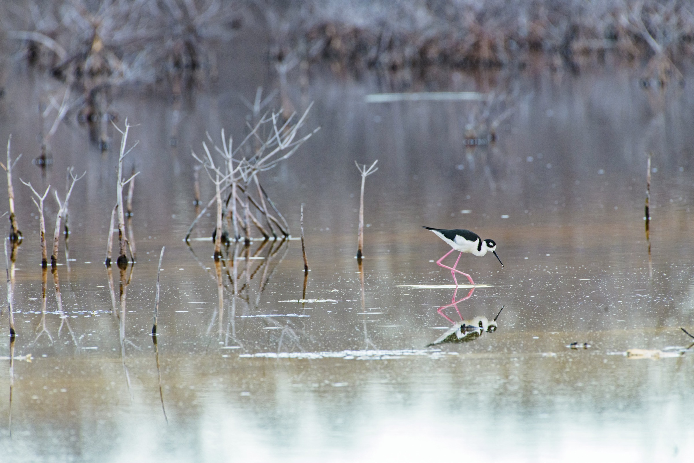 Ciénaga de Zapata National Park is a biosphere reserve, RAMSAR site, and one of the largest wetlands in the Caribbean. This black-winged stilt (Himantopus himantopus) feeding at low tide is one of nearly 200 species of birds found here.