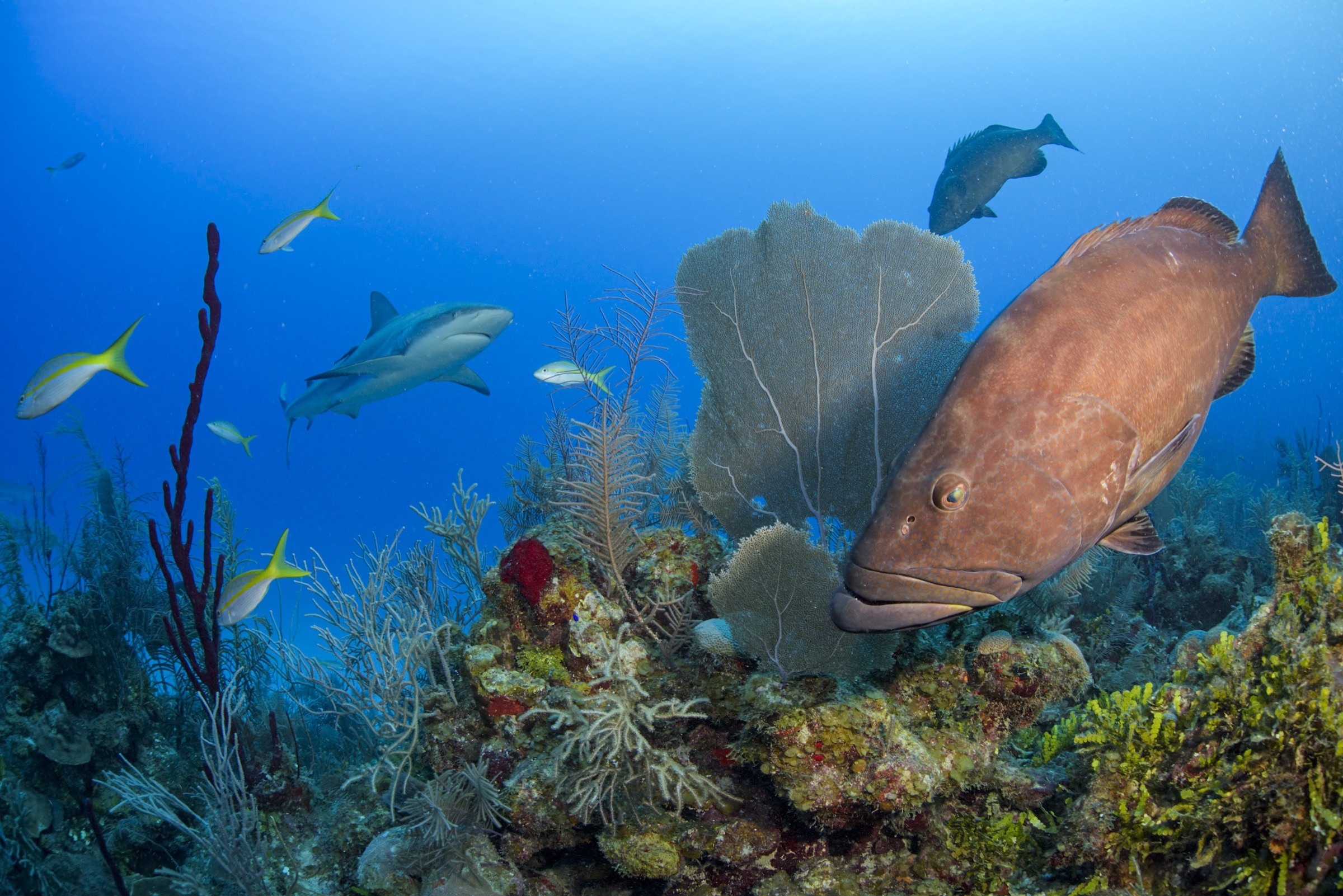 Top predators like sharks and groupers are relatively common in Cuba's Gardens of the Queen. Their presence, alongside countless herbivorous fishes and hard and soft corals, is an indicator of the health of the marine ecosystem here.