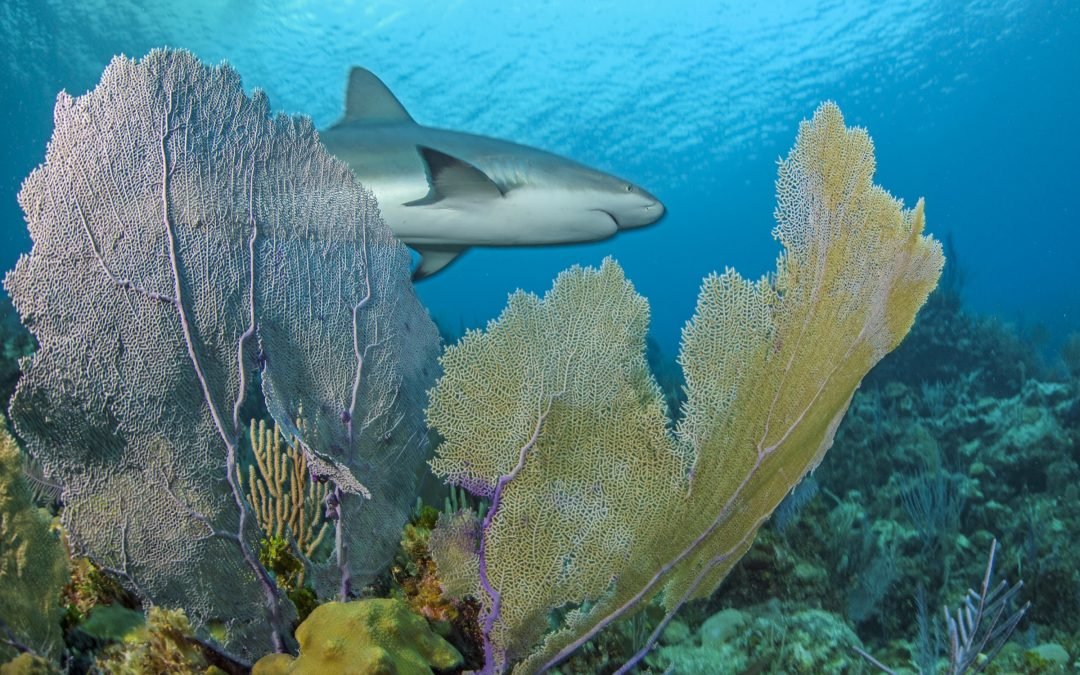 The torpedo-like form of the Caribbean reef shark (Carcharhinus perezii) and the intricate matrix of waving sea fans are prime examples of how form follows function in an ecosystem shaped by thousands of years of evolution.