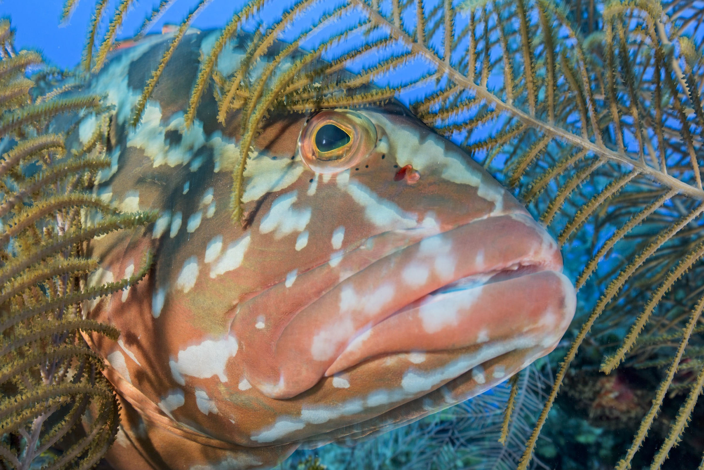 Large predatory fish, like this Nassau grouper (<em>Epinephelus striatus</em>) that biologist and photographer Octavio Aburto encountered in the Gardens of the Queen, were far less wary than those he's photographed in other parts of the world.
