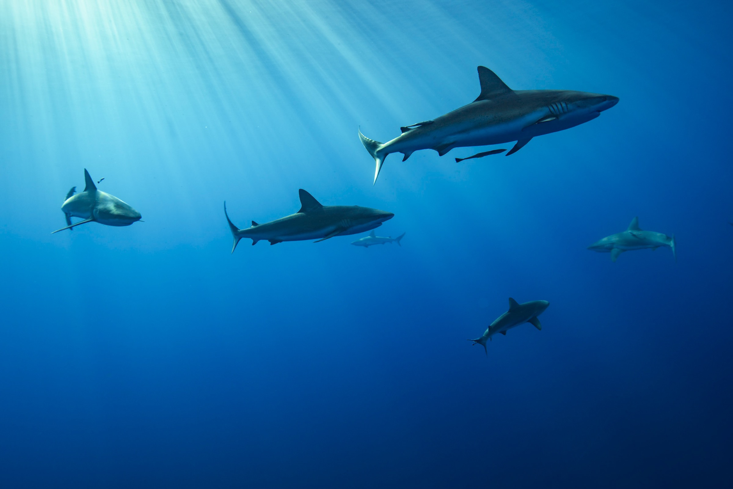 Caribbean reef sharks (<em>Carcharhinus perezii</em>) and silky sharks (<em>Carcharhinus falciformis</em>) circled overhead as Aburto and fellow divers ascended back toward the surface in the Gardens of the Queen.