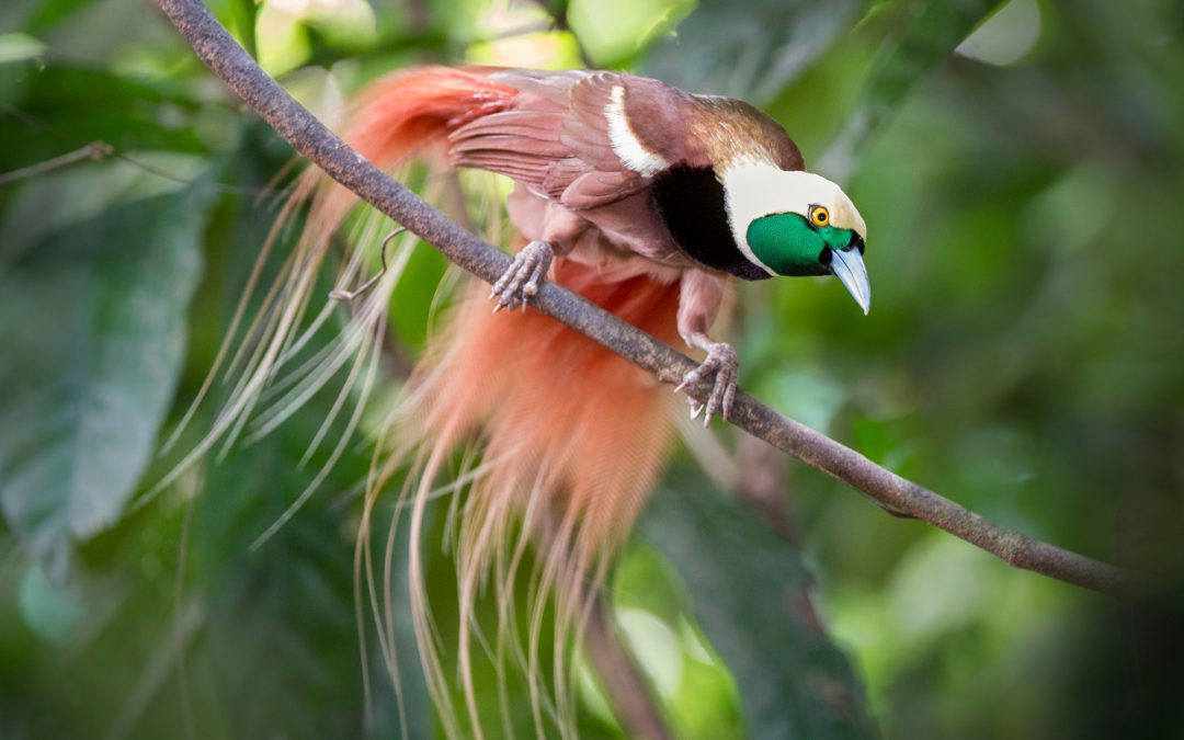 A male Raggiana bird-of-paradise (Paradisaea raggiana) displays in forest canopy of Varirata National Park, Papua New Guinea. Photograph by Nick Garbutt