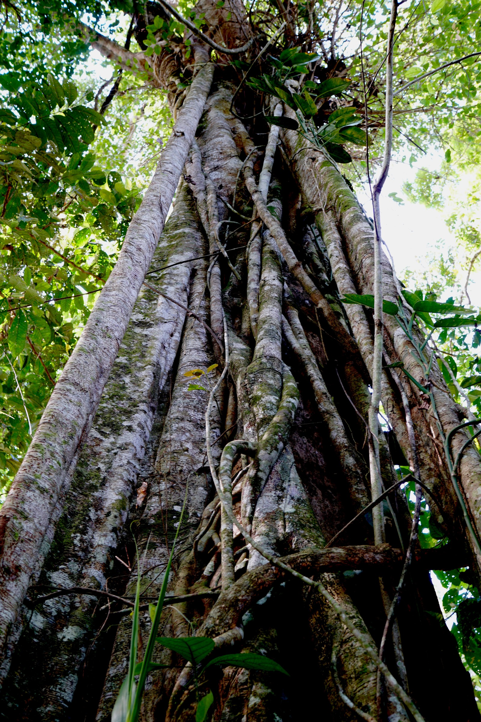 A strangler fig (Ficus sp.) envelops a tree in the rainforest of the Managalas Plateau. Photograph by Ethan Linck