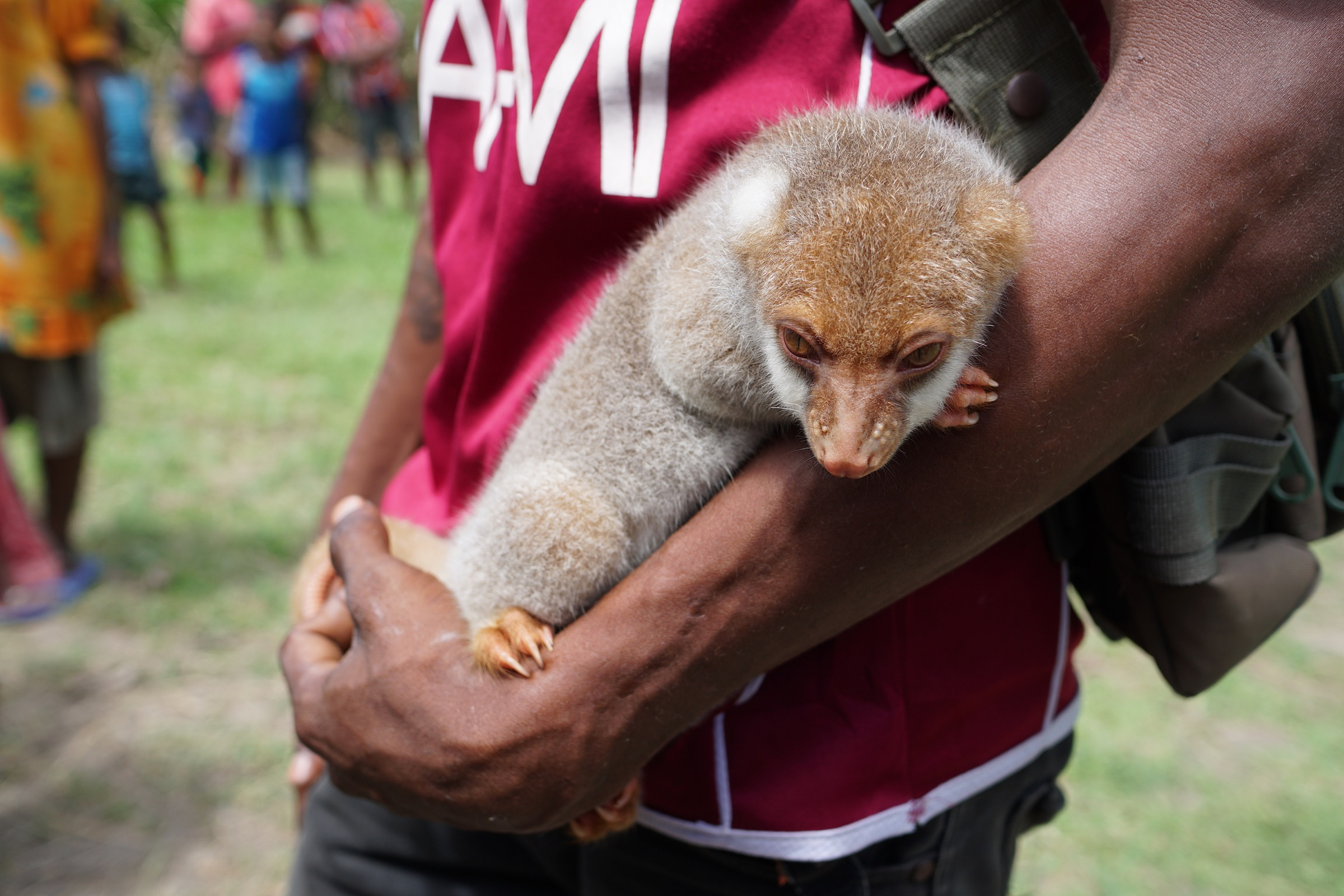 A young village resident cradles a common spotted cuscus (Spilocuscus maculatus) that he's taken as a pet. Photograph by Ethan Linck