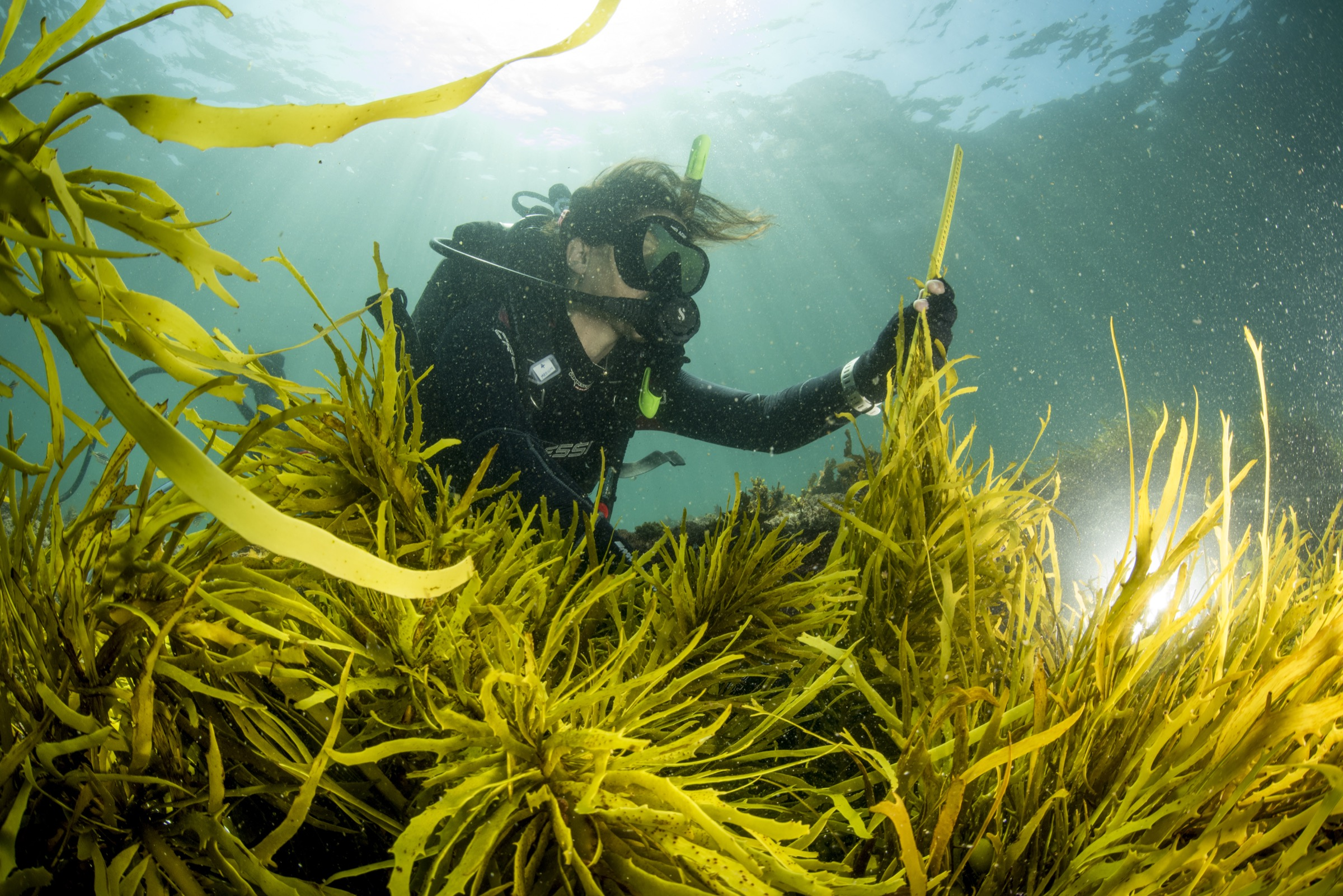 Marine ecologist Adriana Vergés inspects a patch of crayweed (Phyllospora comosa) that her team transplanted off the coast of Sydney, Australia.