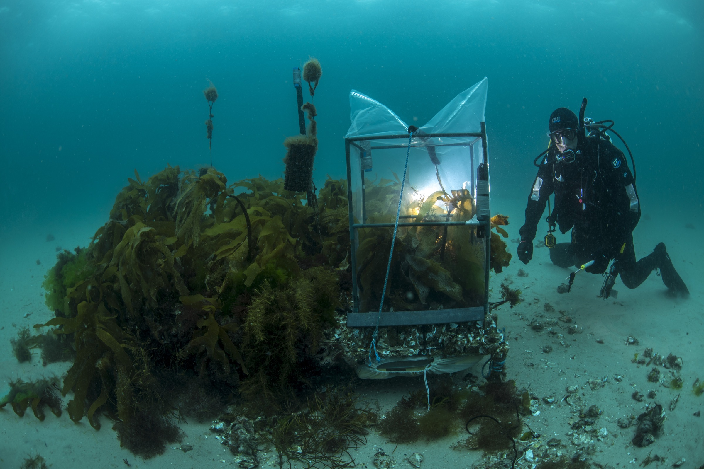 Marine ecologist Craig Johnson dives down to check on a patch of transplanted kelp off Maria Island, Tasmania. The tent over some of the transplants measures photosynthetic rate, an indicator of health.