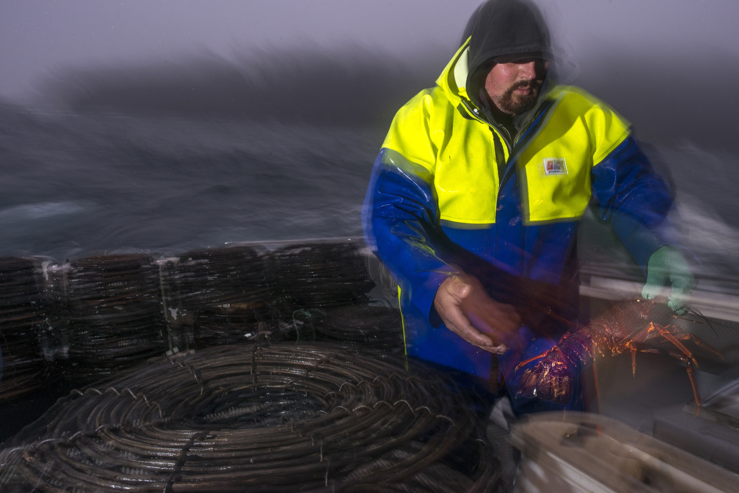 Shane Bloomfield tosses a southern rock lobster into a container on the deck of a commercial lobster fishing vessel off the Tasman Peninsula.
