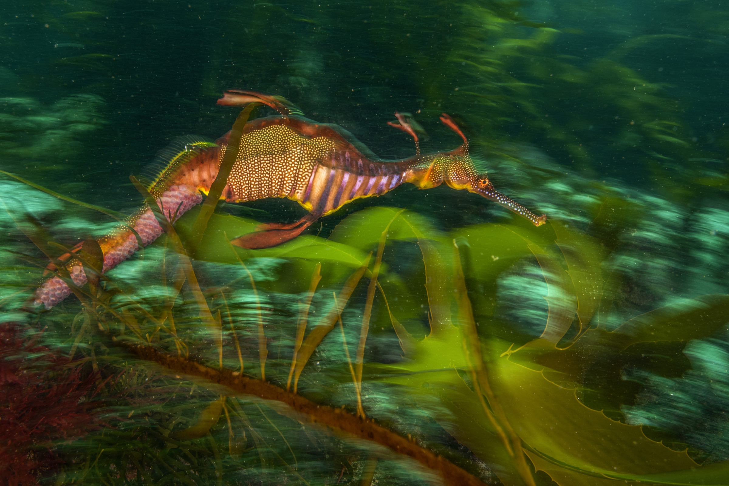 A male weedy seadragon (Phyllopteryx taeniolatus) photographed off the Tasman Penninsula carries eggs on the underside of its abdomen.