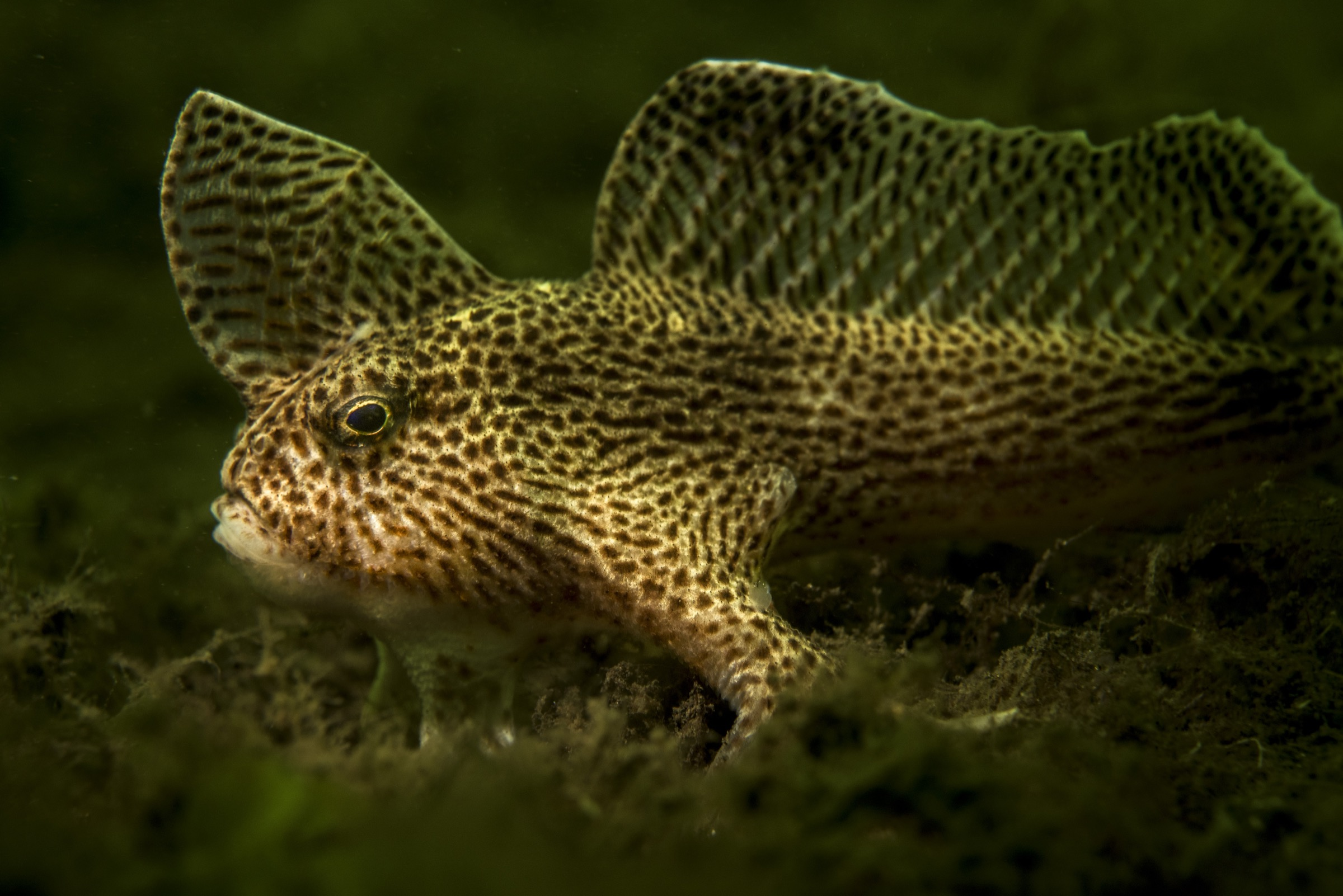 A spotted handfish (Brachionichthys hirsutus) clambers along the bottom in the Derwant River Estuary near Hobart, Tasmania.