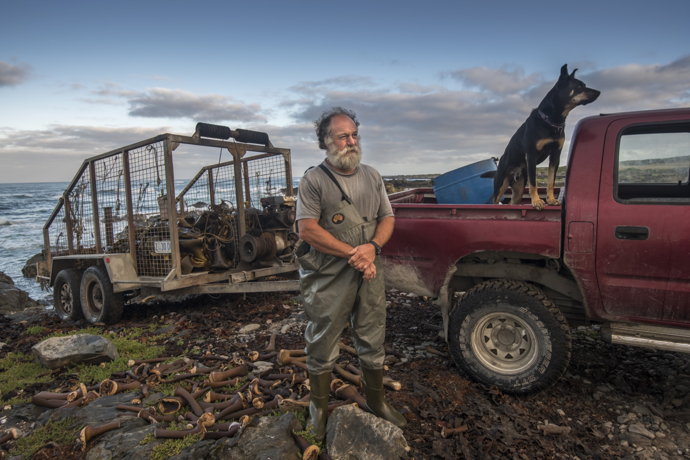 Commercial kelp harvester John and his kelpie Bruce photographed with a trailer of bull kelp (Durvillaea potatorum) on King Island, Tasmania.