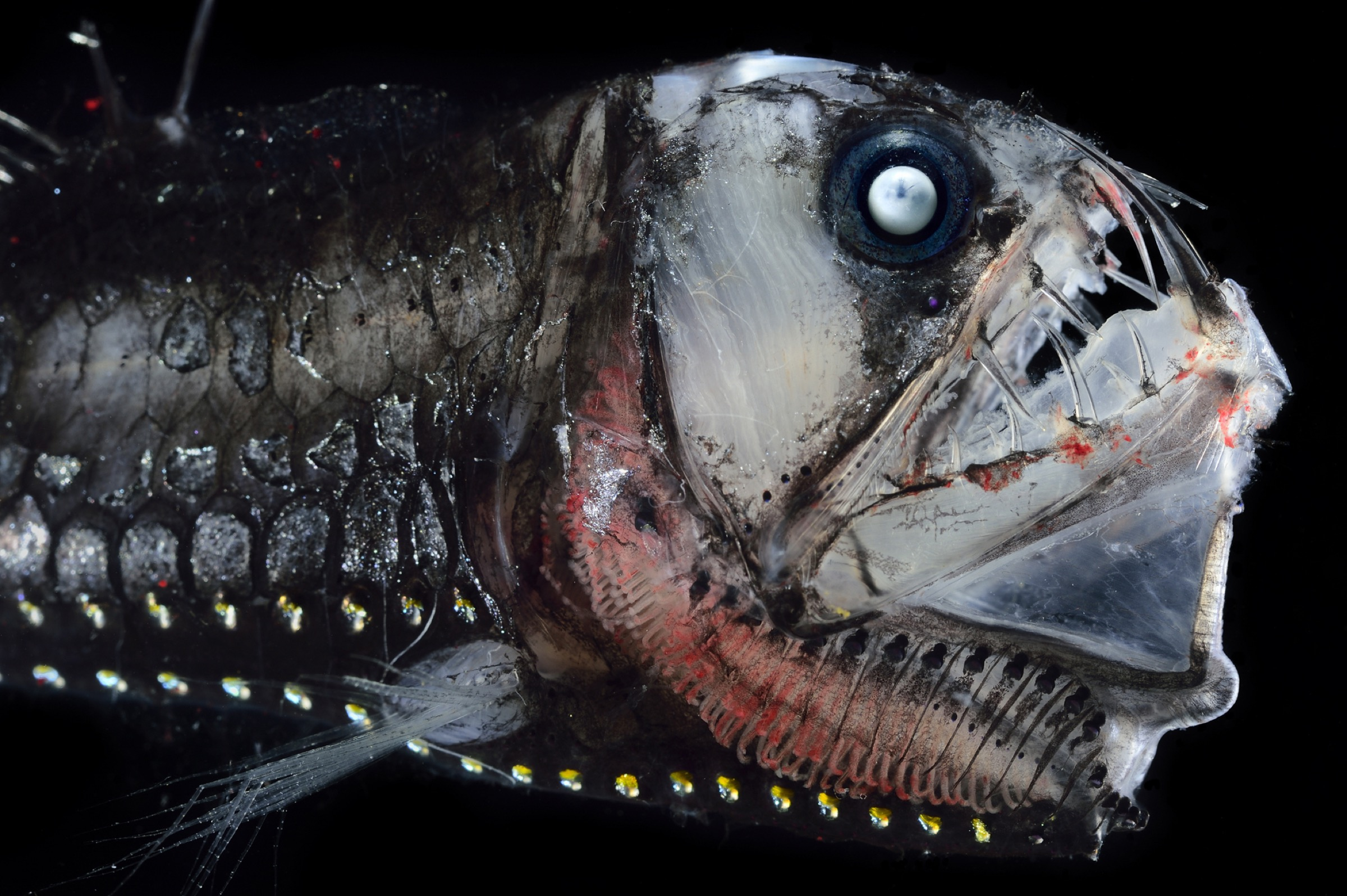 Like many other deep-sea fishes, the Sloan's viperfish (Chauliodus sloani) uses light-producing cells called photophores to lure unsuspecting prey toward its mouth. Once it catches its victim, the viperfish's hinged teeth rotate inward to trap the animal and force it inescapably down the predator's gullet.