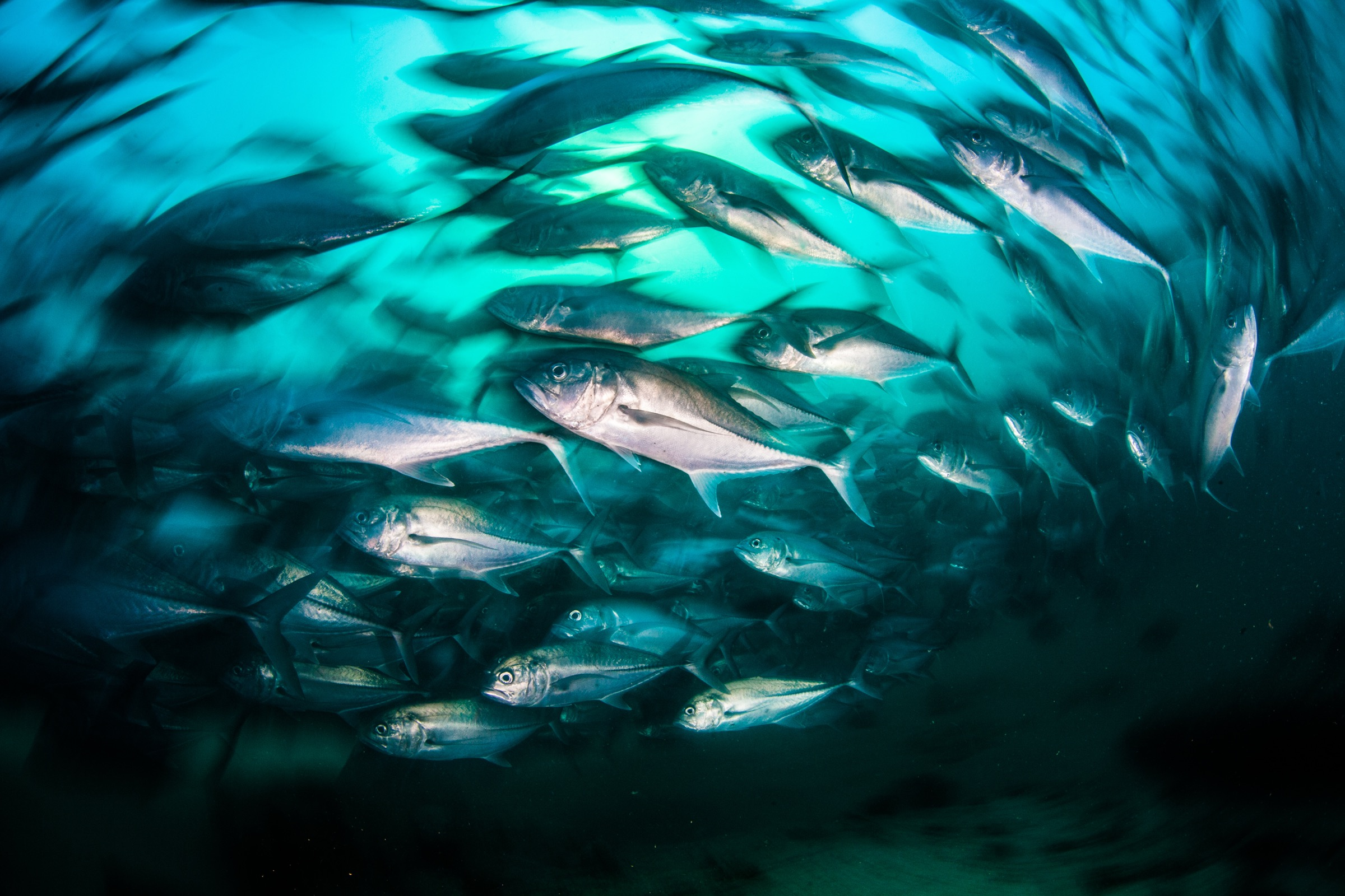 A school of bigeye trevally (Caranx sexfasciatus) swims off Cabo Pulmo, Baja California Sur, Mexico.