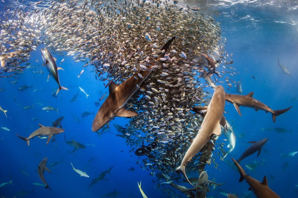 Yellowfin tuna (Thunnus albacares), rainbow runners (Elagatis bipinnulata) and four species of shark all take turns feeding on baitfish off Mexico's Revillagigedo Archipelago.