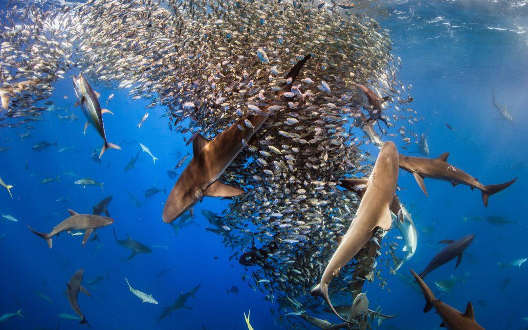Yellowfin tuna (Thunnus albacares), rainbow runners (Elagatis bipinnulata) and four species of shark all take turns feeding on baitfish off Mexico's Revillagigedo Archipelago.