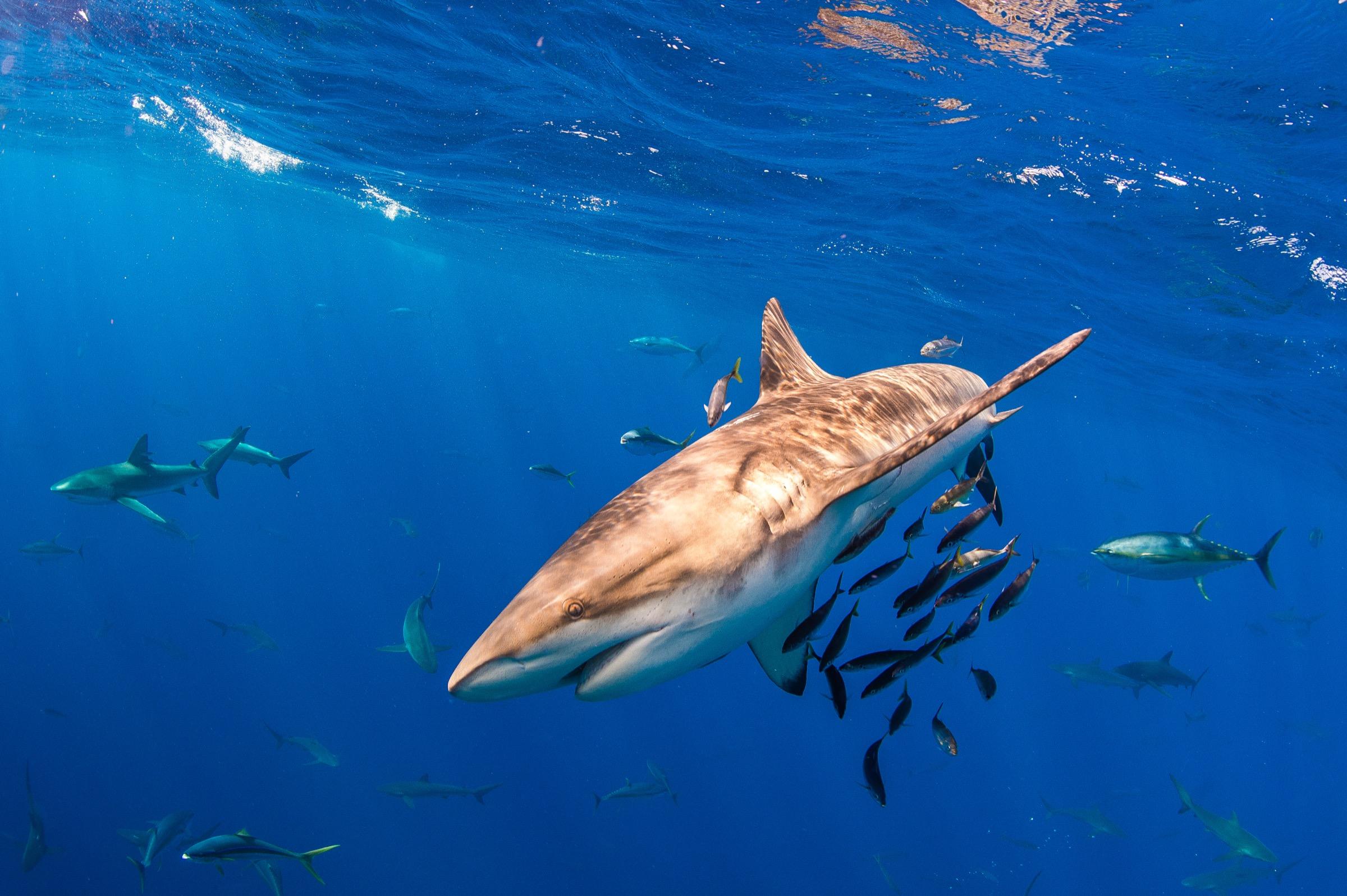 Baitfish seek shelter under the body of a Galapagos shark (<em>Carcharhinus galapagensis</em>) off Mexico's Revillagigedo Archipelago.