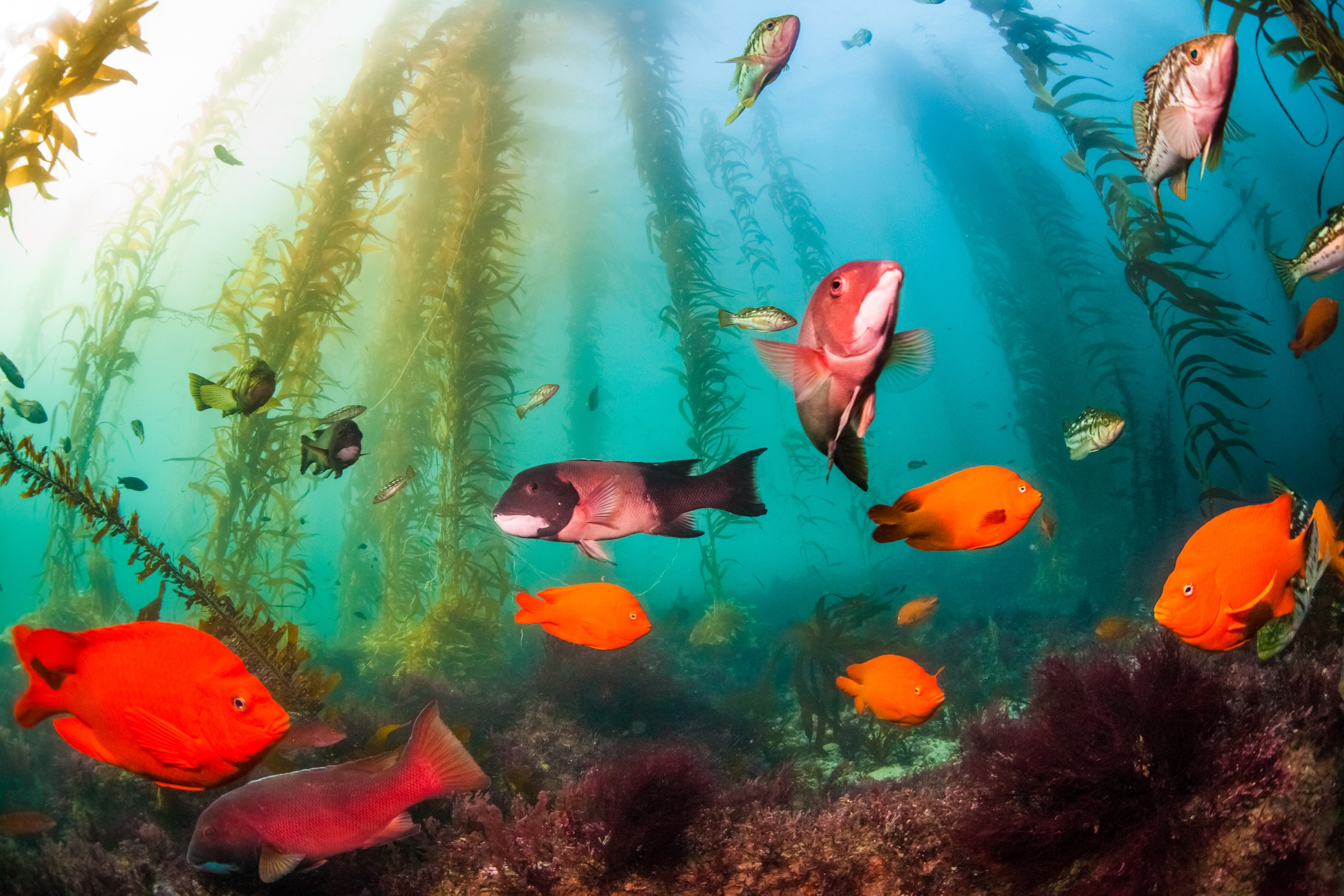 An assortment of kelp fishes off Matlahuayl State Marine reserve near San Diego, California