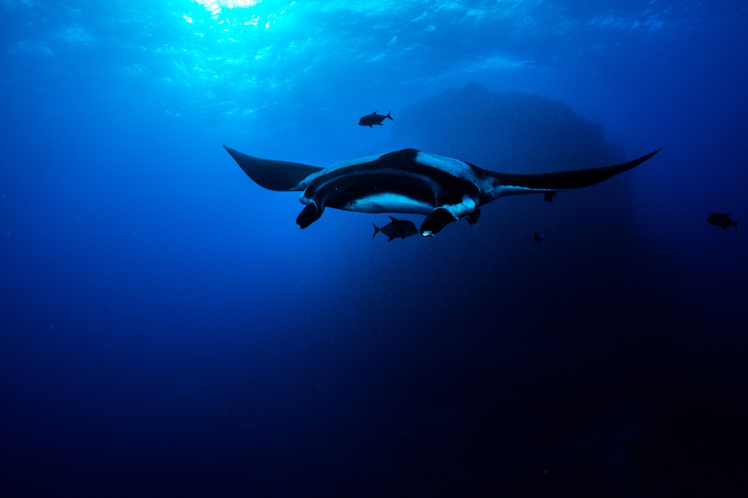 A giant oceanic manta (Manta birostris) swims off El Boiler at San Benedicto Island in Mexico's Revillagigedo Archipelago.