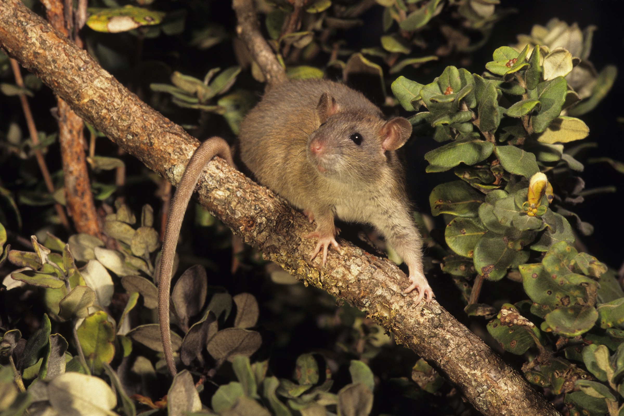The black rat(Rattus rattus) is one of several invasive species that have decimated Hawaii's native wildlife populations.It is one of the most damaging species to have been introduced to the islands.Photograph by Jack Jeffrey