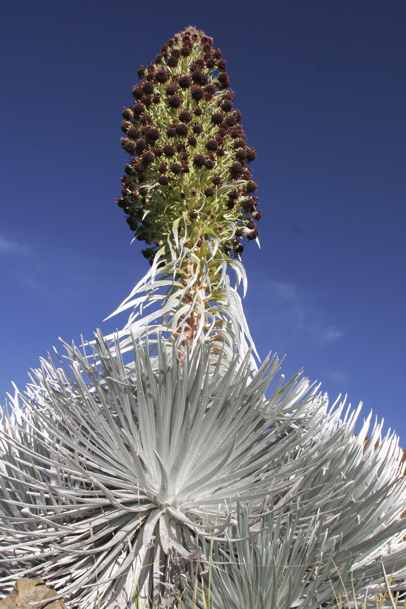 The 'Ahinahina or Haleakalā silversword (Argyroxiphium sandwicense subsp. macrocephalum) is a rare plant found in the Kīpahulu Biological Reserve. Staff from Haleakalā National Park collect and propagate silversword seeds to bolster wild populations. Photograph by Jack Jeffrey