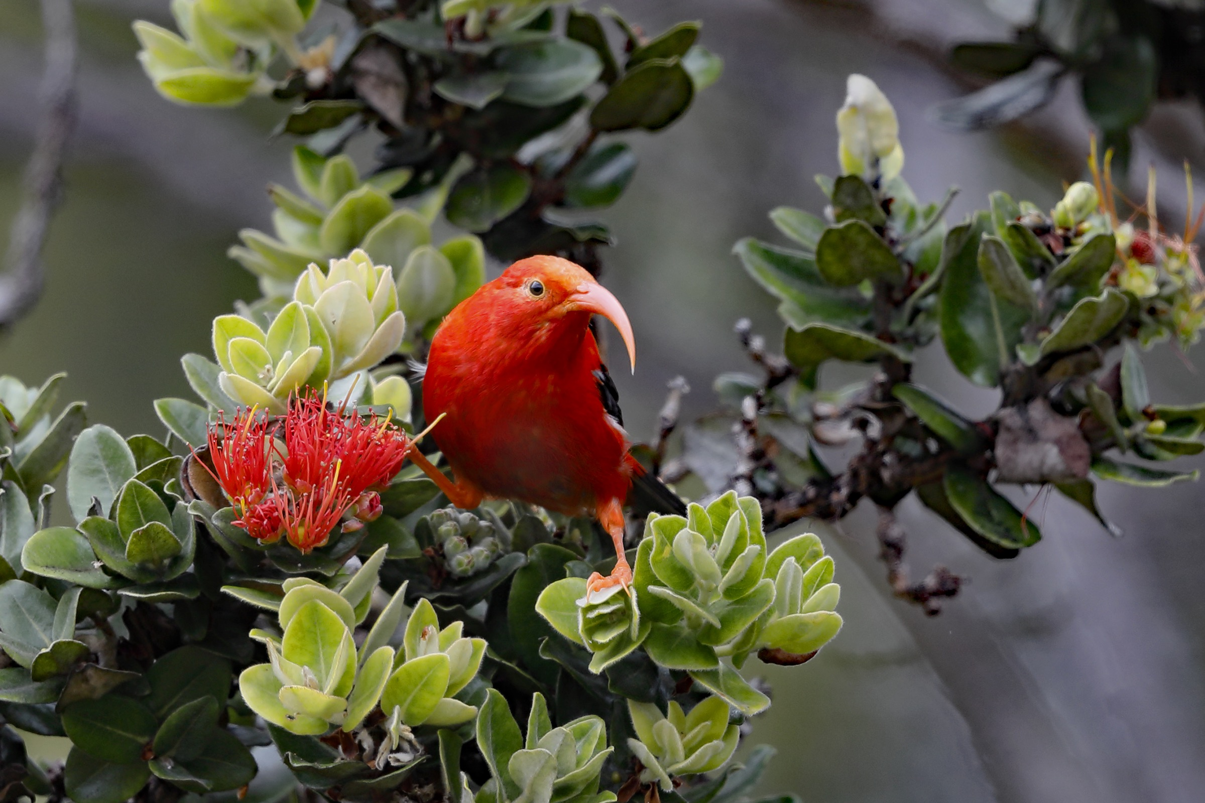 The ʻIʻiwi (Drepanis coccinea) is one of several species of Hawaiian honeycreepers found in the Kīpahulu Biological Reserve. The species is classified as Vulnerable by the IUCN. Researchers have recently documented evidence of hybridization between ʻIʻiwi and 'Apapane. Photograph by Jack Jeffrey