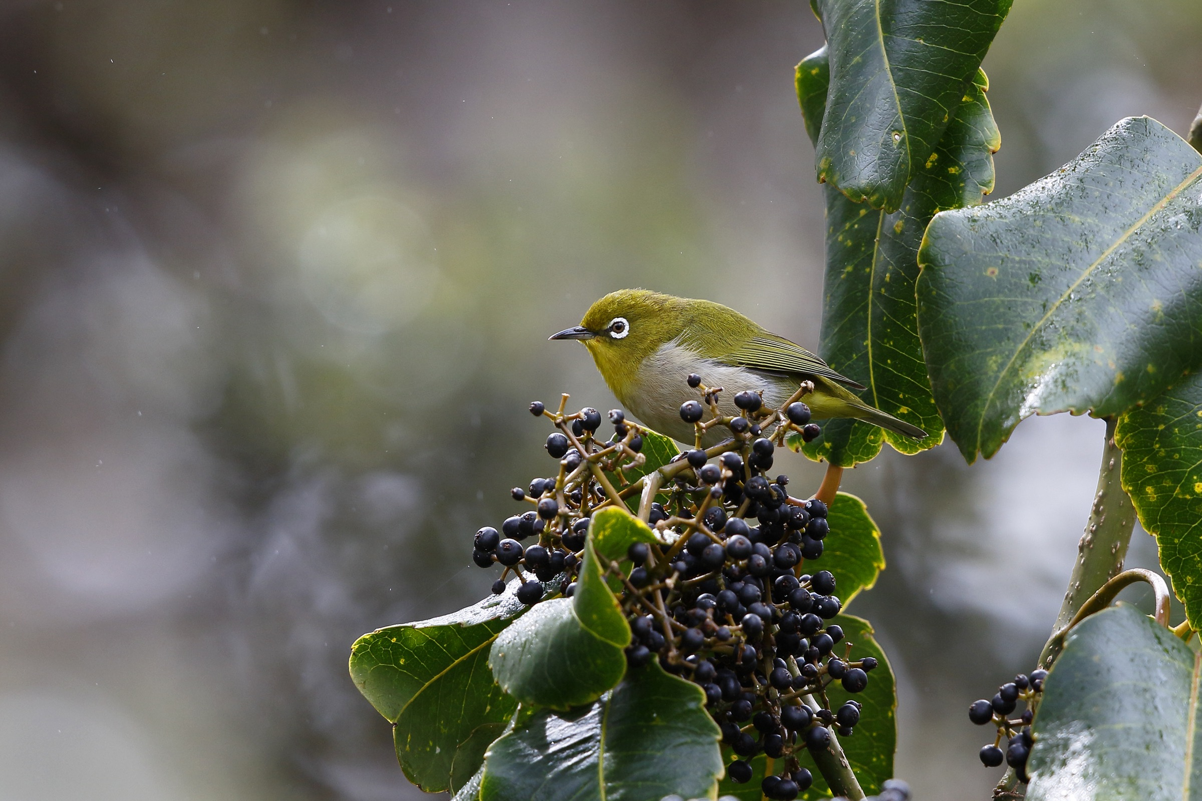 The Japanese white-eye (Zosterops japonicas), an invasive species in Hawaii, can be found in the Kīpahulu Biological Reserve. Originally a native of Asia, it is now vagrant in many parts of the world. Photograph by Jack Jeffrey