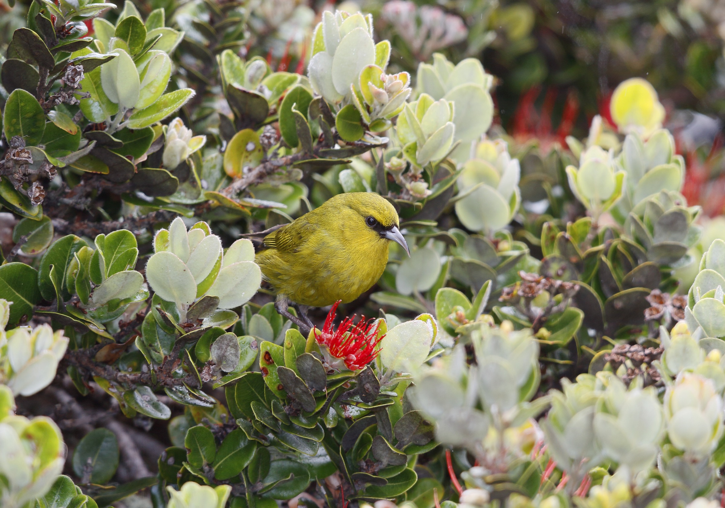 "The Maui ʻamakihi (Chlorodrepanis virens) is a Hawaiian honeycreeper endemic to Maui. In recent years, the species has been hit with an emerging infectious disease known as ""scaly leg,"" caused by a burrowing mite. Photograph by Jack Jeffrey"
