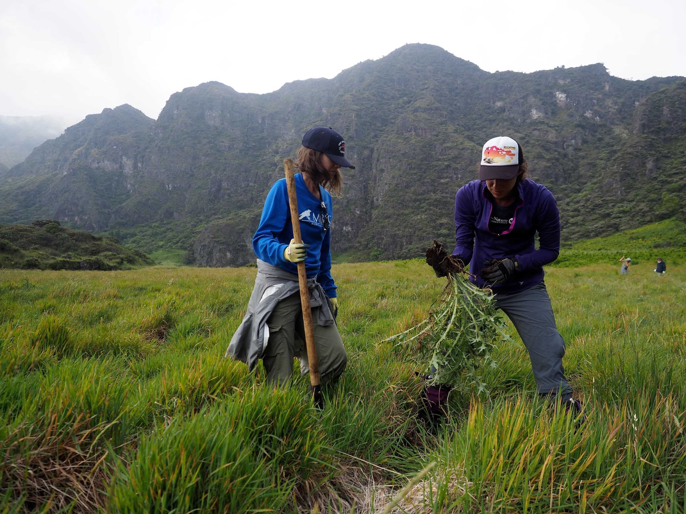 Volunteers pull invasive bull thistles (Cirsium vulgare) from a meadow near the Palikū cabins in Haleakalā National Park. The thistles are widespread on Maui. Photograph by Jeremy Miller