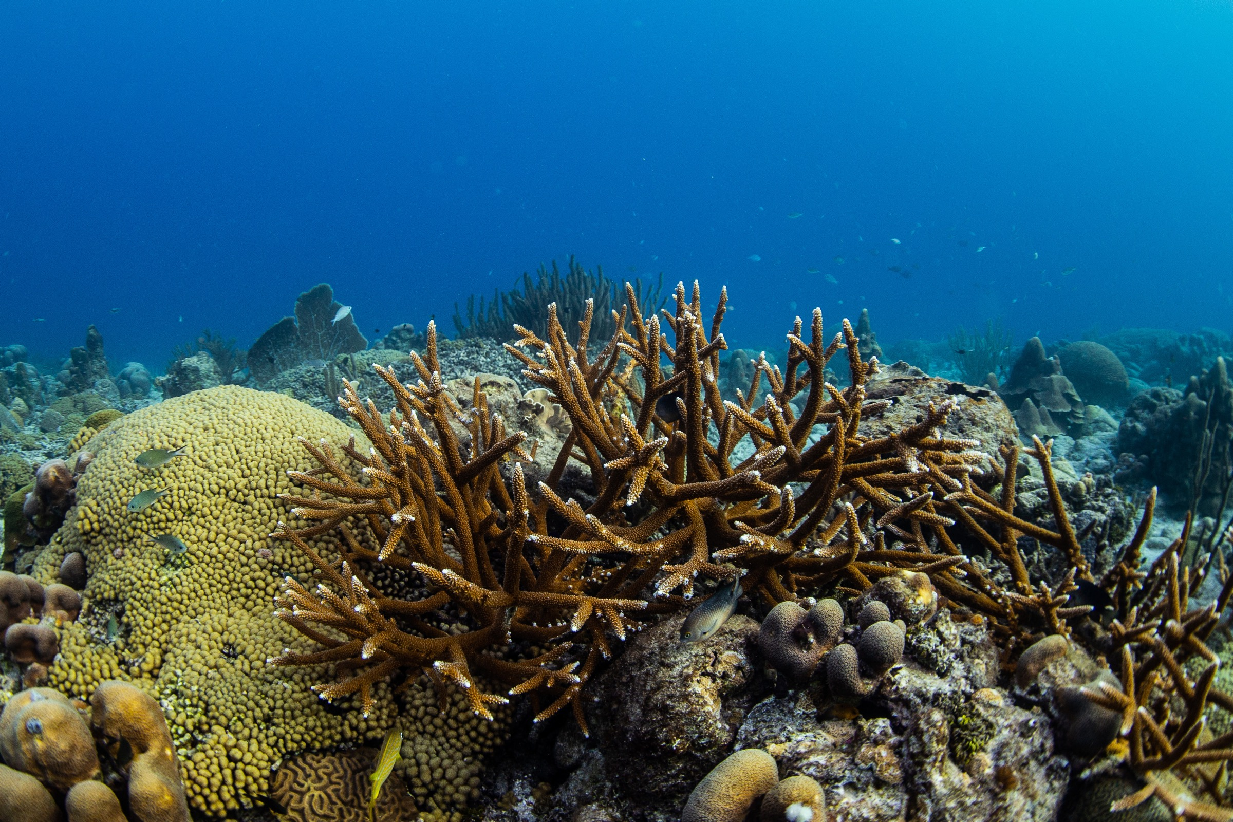 Critically endangered staghorn coral (<em>Acropora cervicornis</em>) off the coast of Curaçao