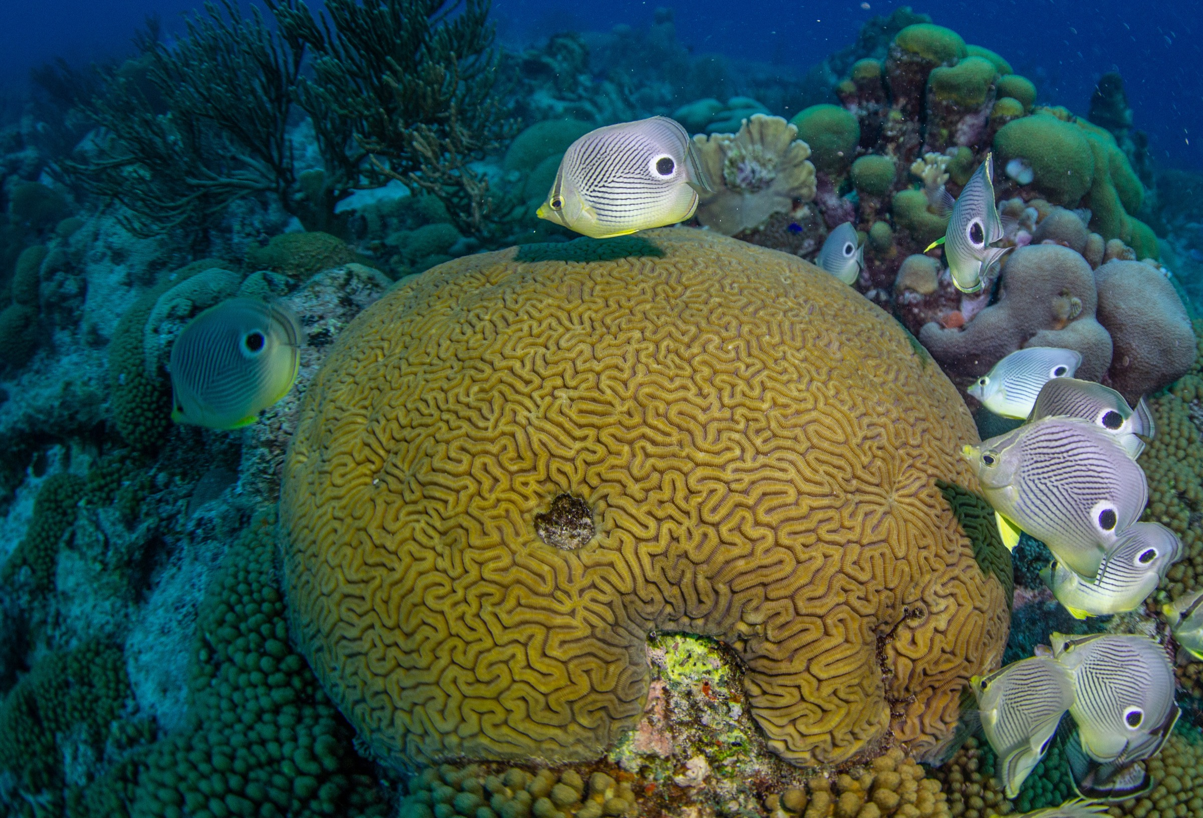 Butterflyfish watch over a grooved brain coral colony (<em>Diploria labyrinthiformis</em>). The behavior of fish can sometimes help scientists anticipate the onset of a coral spawning event.