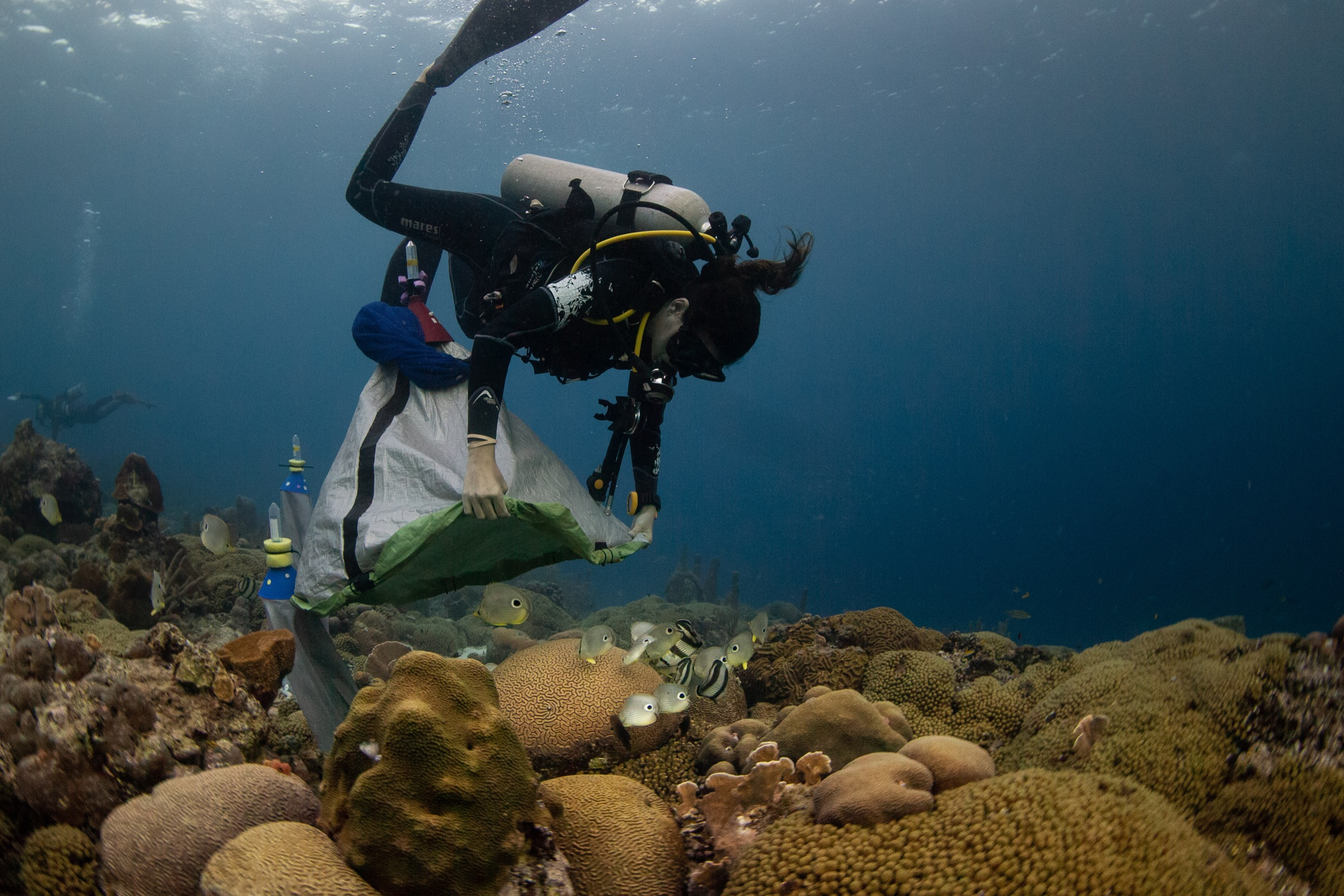 Valérie Chamberland places a net over a colony of grooved brain coral (<em>Diploria labyrinthiformis</em>) that has just begun to spawn.