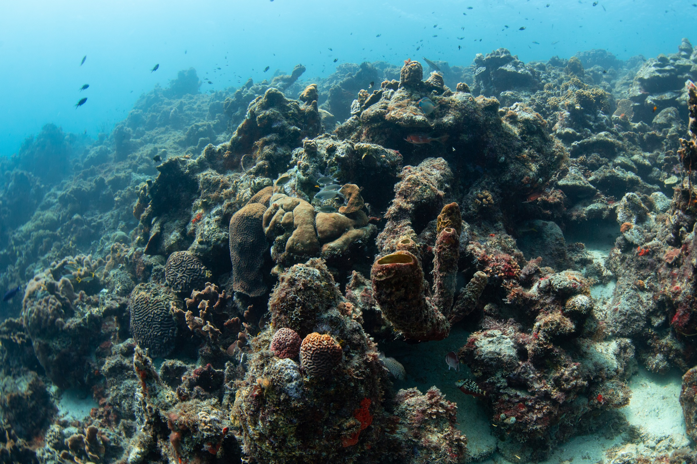 A goal of reef conservation in many areas today isn't to preserve pristine reefs—most of those are gone—but to preserve at least some reef structure, some habitat for fish and other marine species.