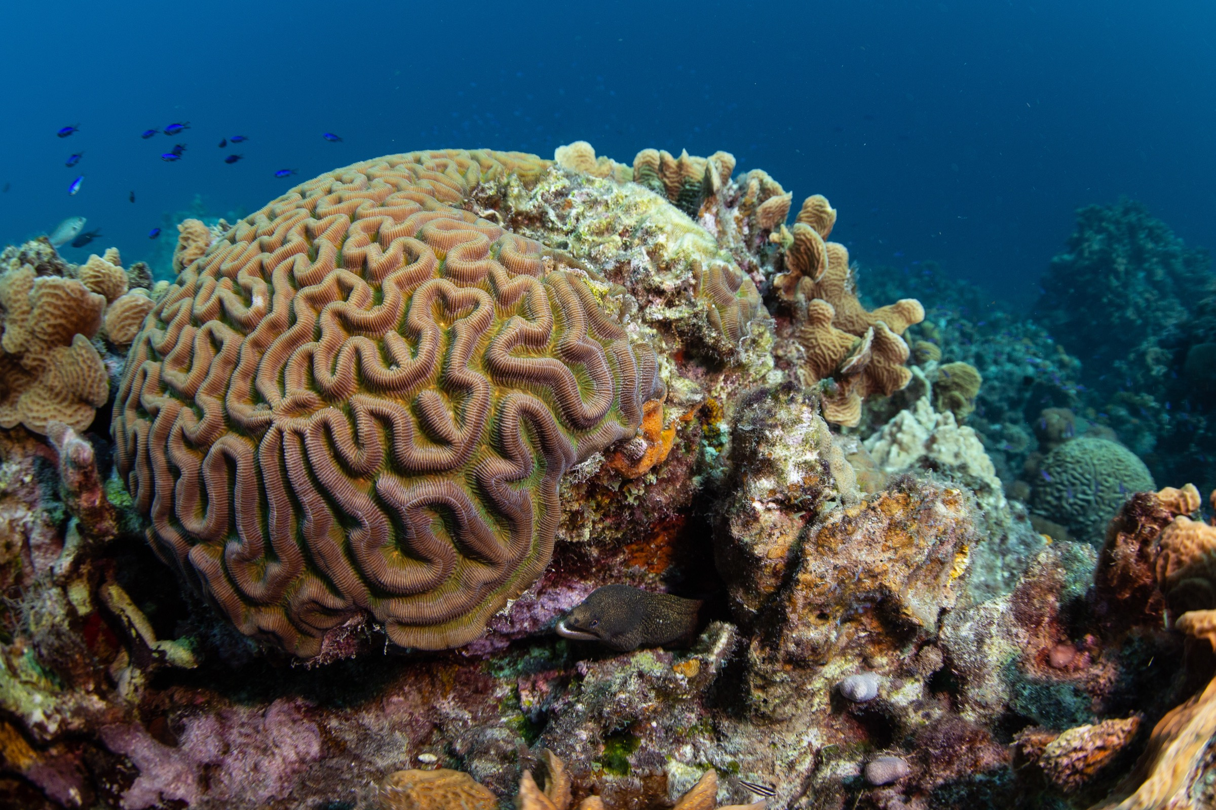 A colony of the boulder brain coral (<em>Colpophyllia natans</em>) off the coast of Curaçao