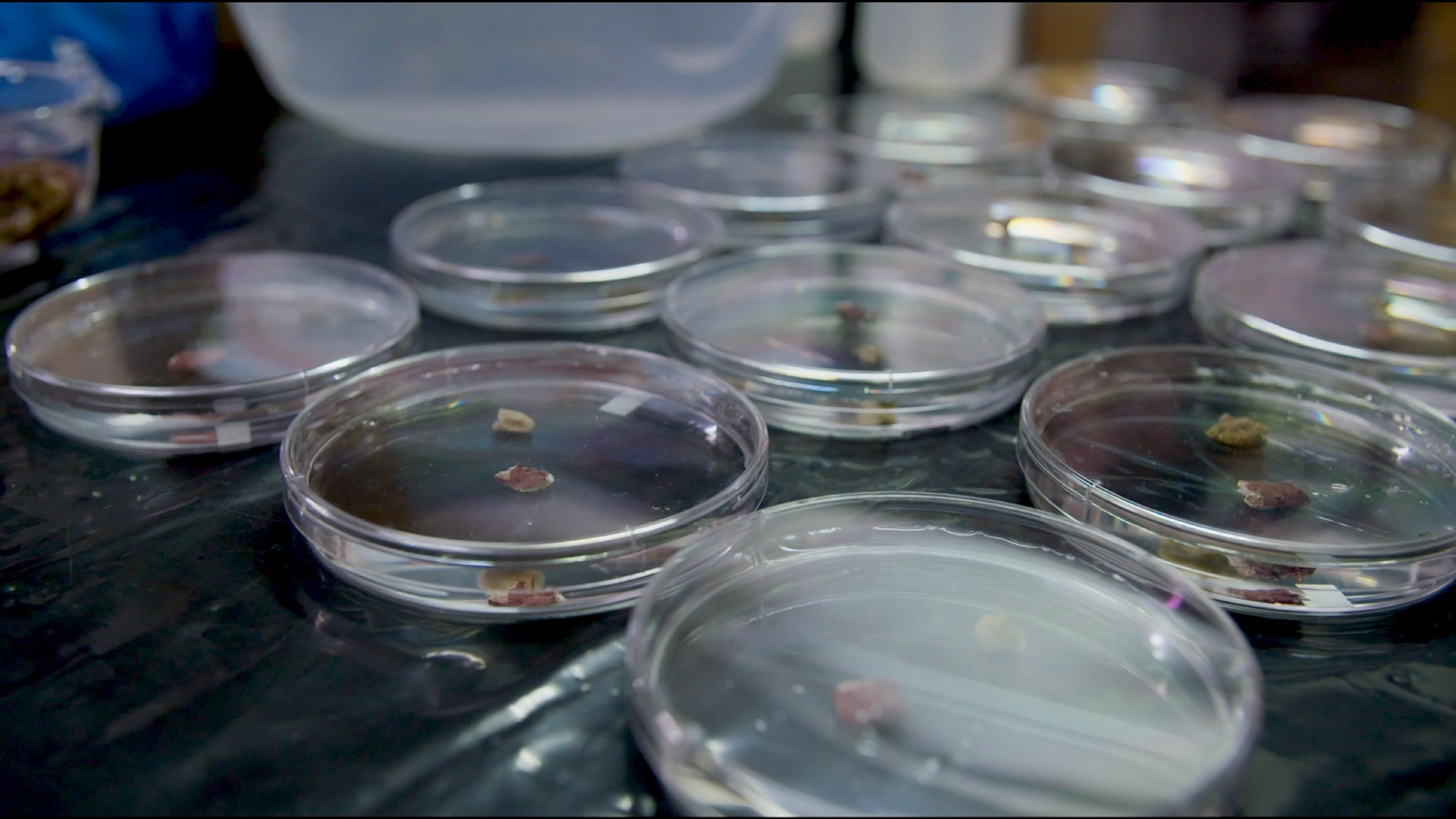 SECORE biologists are tracking the behavior of coral larvae in these Petri dishes to better understand their life history.