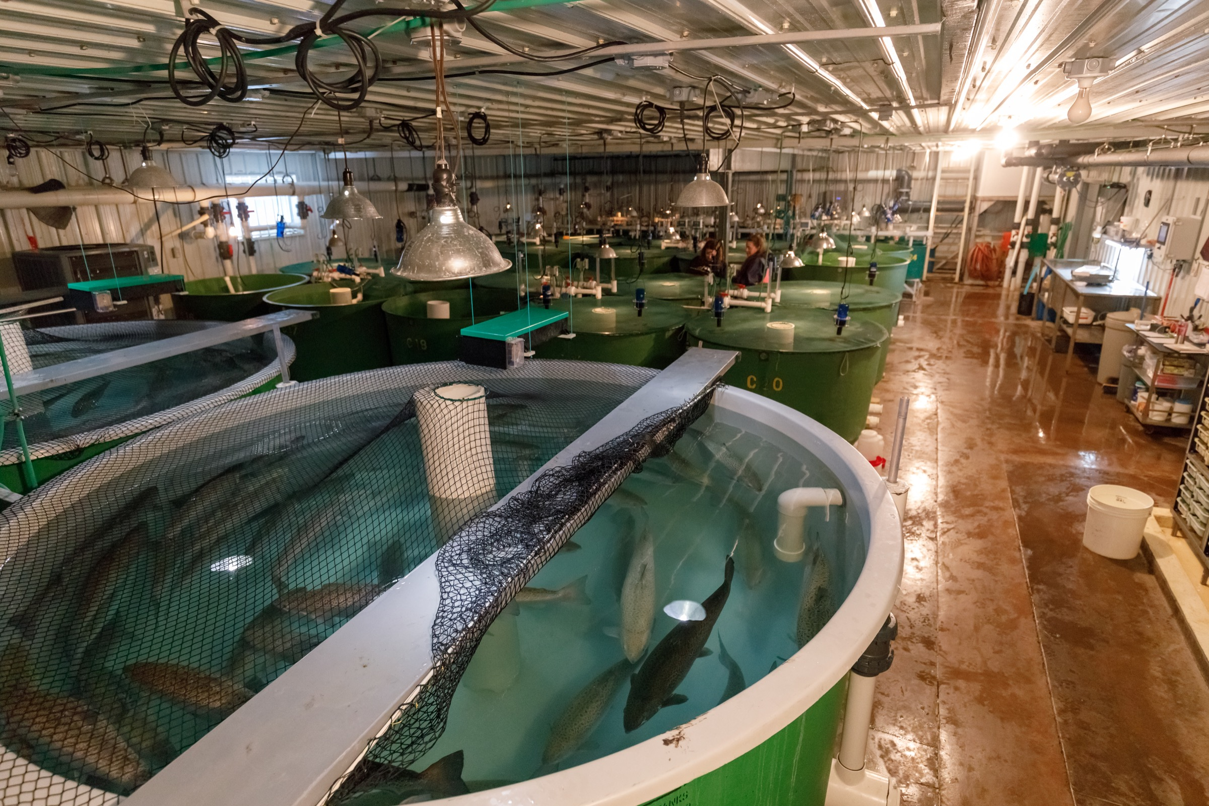 Market-sized, genetically modified salmon patrol the indoor tanks inside AquaBounty's Prince Edward Island facility. Photograph by Stephen DesRoches