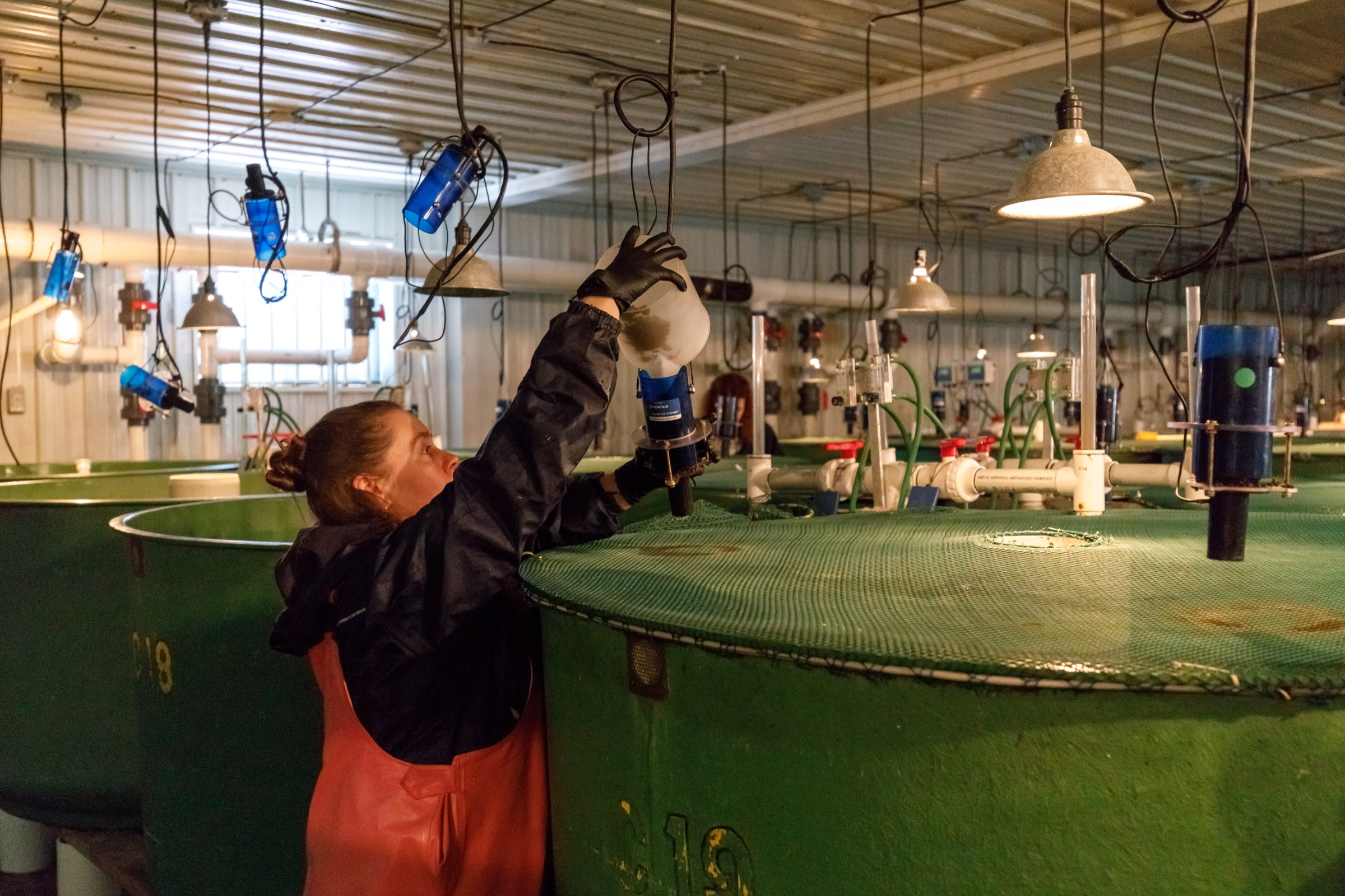 Technician Amanda Cudmore fills feeders that hang above tanks inside the AquaBounty facility. Photograph by Stephen DesRoches