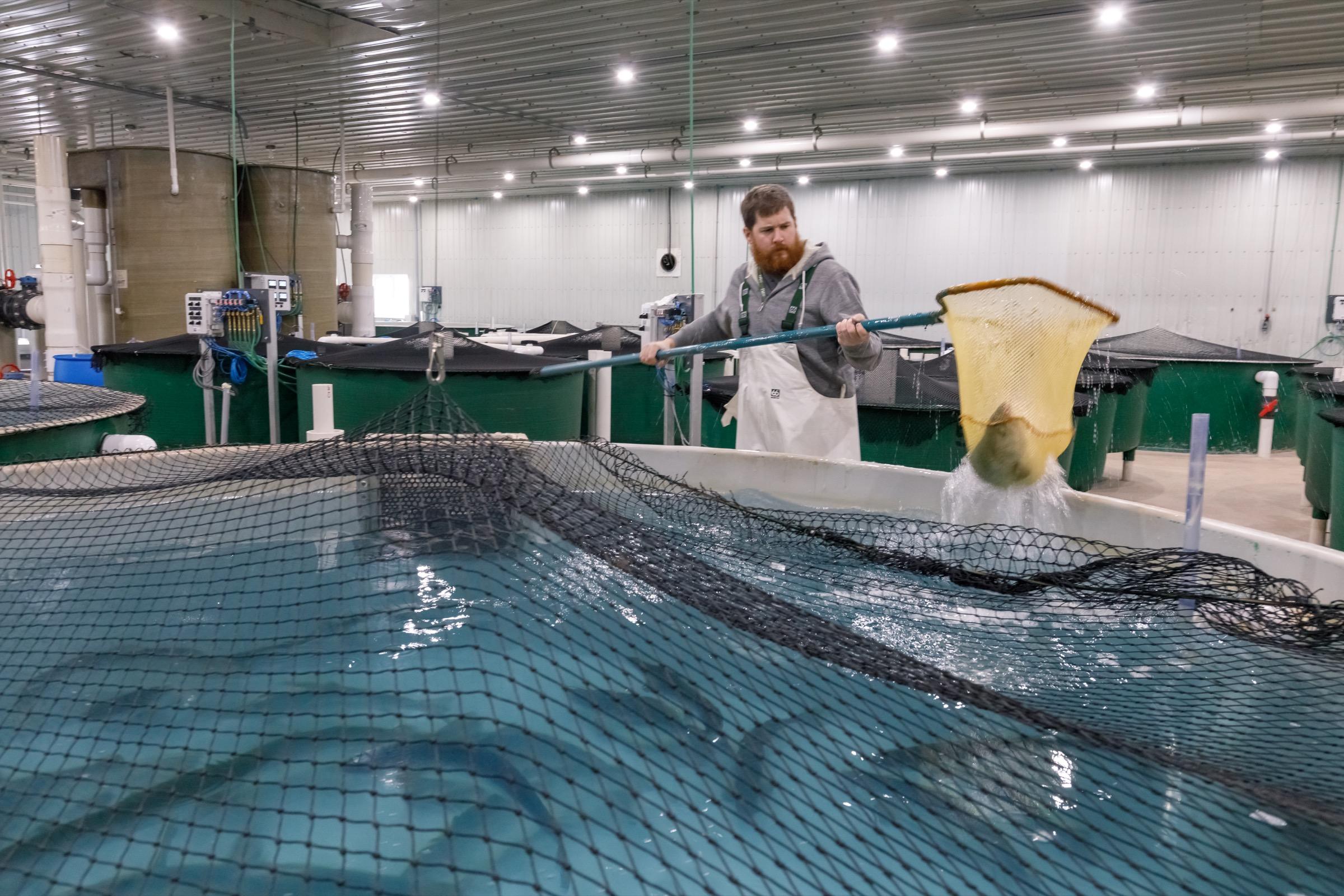 Facility manager Jon Veinot nets brood stock inside AquaBounty's new Rollo Bay hatchery. Photograph by Stephen DesRoches