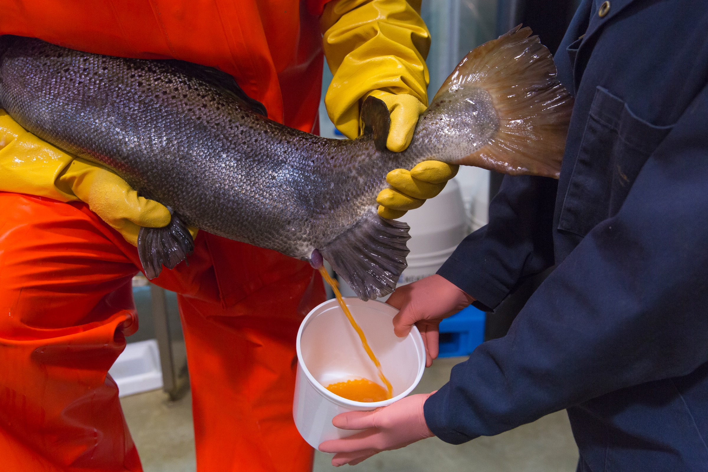 AquaBounty technicians collect eggs from an adult female salmon. Photograph courtesy of AquaBounty
