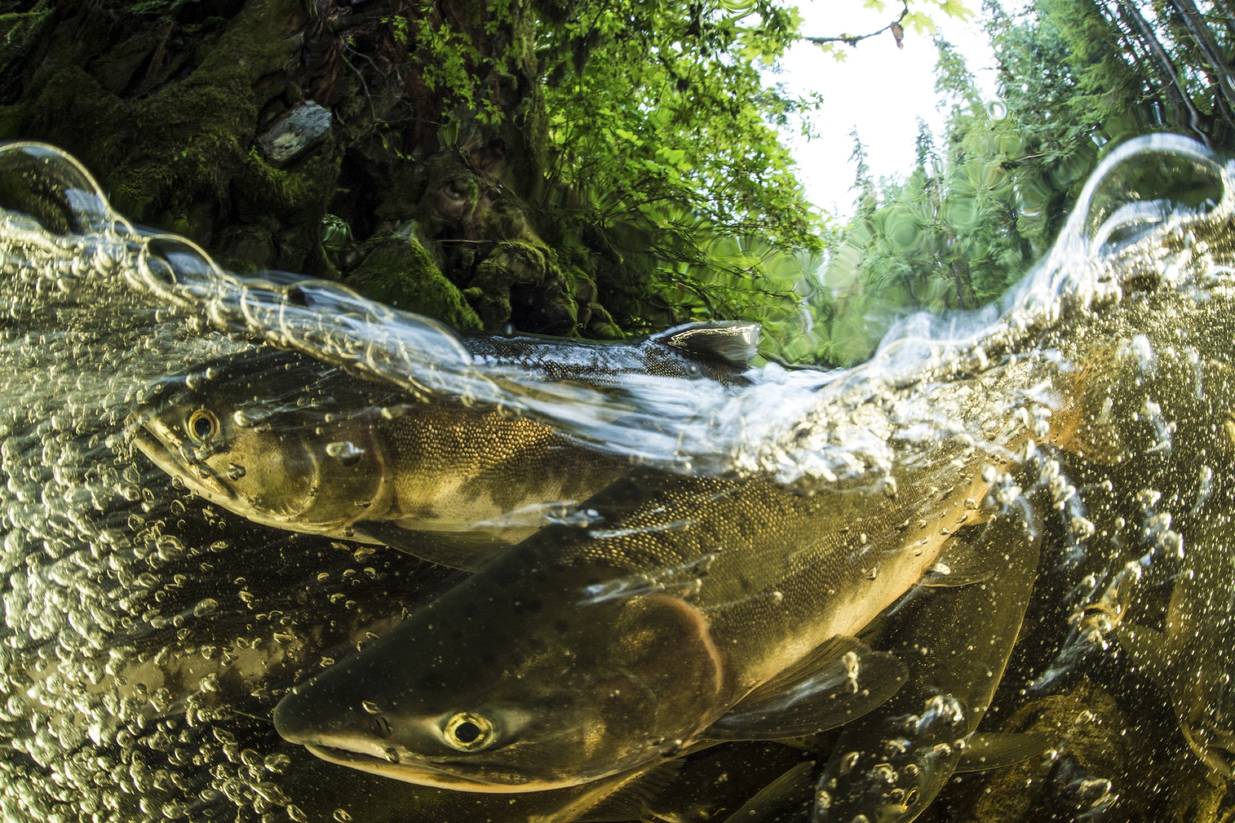 Pink salmon (Oncorhyncus gorbuscha) spawning in the Great Bear Rainforest, British Columbia, Canada—Photograph by Ian Mcallister/Getty