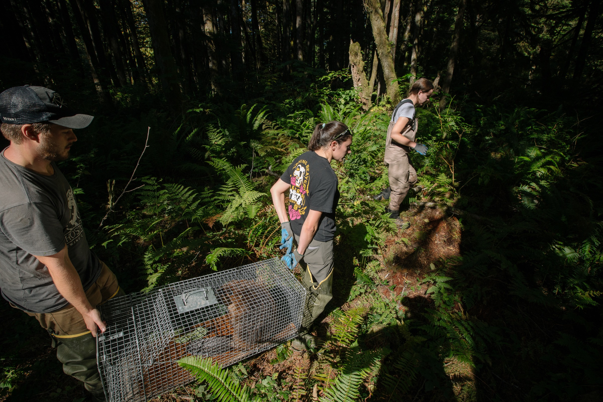 The team members make their way through the woods toward the site of a beaver reintroduction along a stretch of river in northern Washington.
