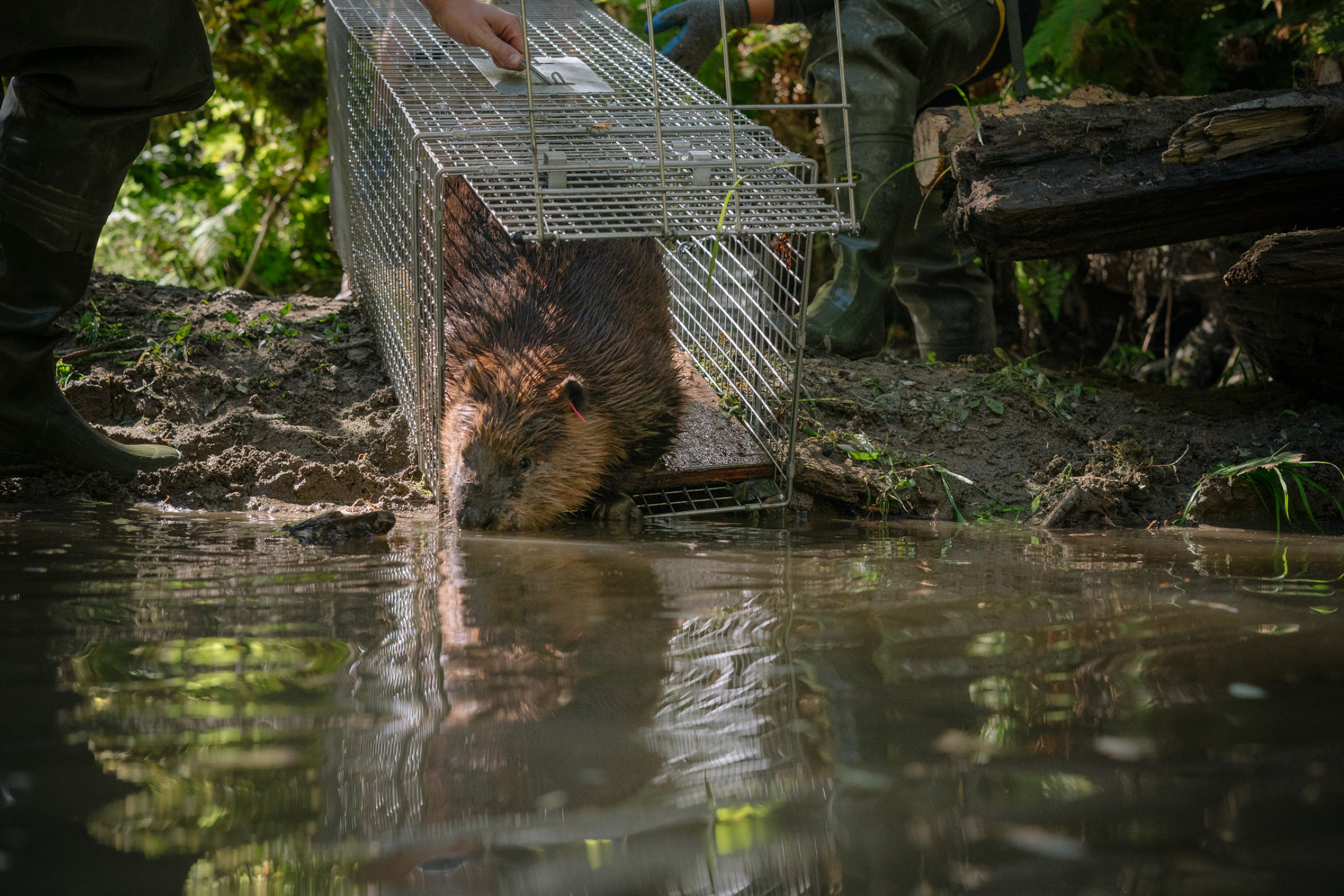 """A beaver is released along a stretch of river in northern Washington that has been prepped with a beaver dam starter kit. Biologists relocate """"nuisance"""" beavers from urban areas into stretches of river habitat that would benefit from some of the ecological engineering that beavers are famous for."""
