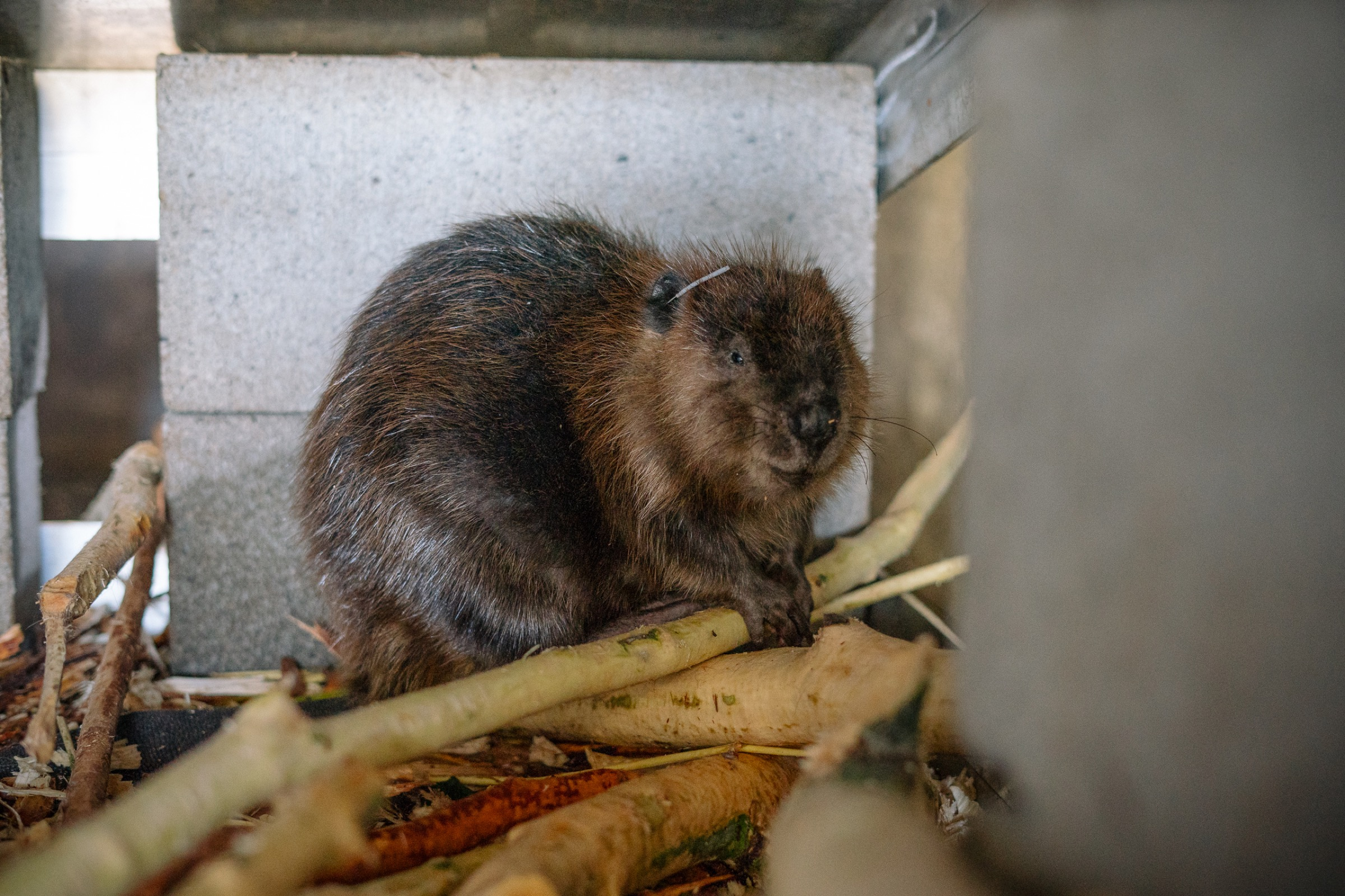 A beaver makes its temporary home at the Tulalip fish hatchery where it will stay and either be reacquainted with family members or introduced to a new mate before being released back into the wild.