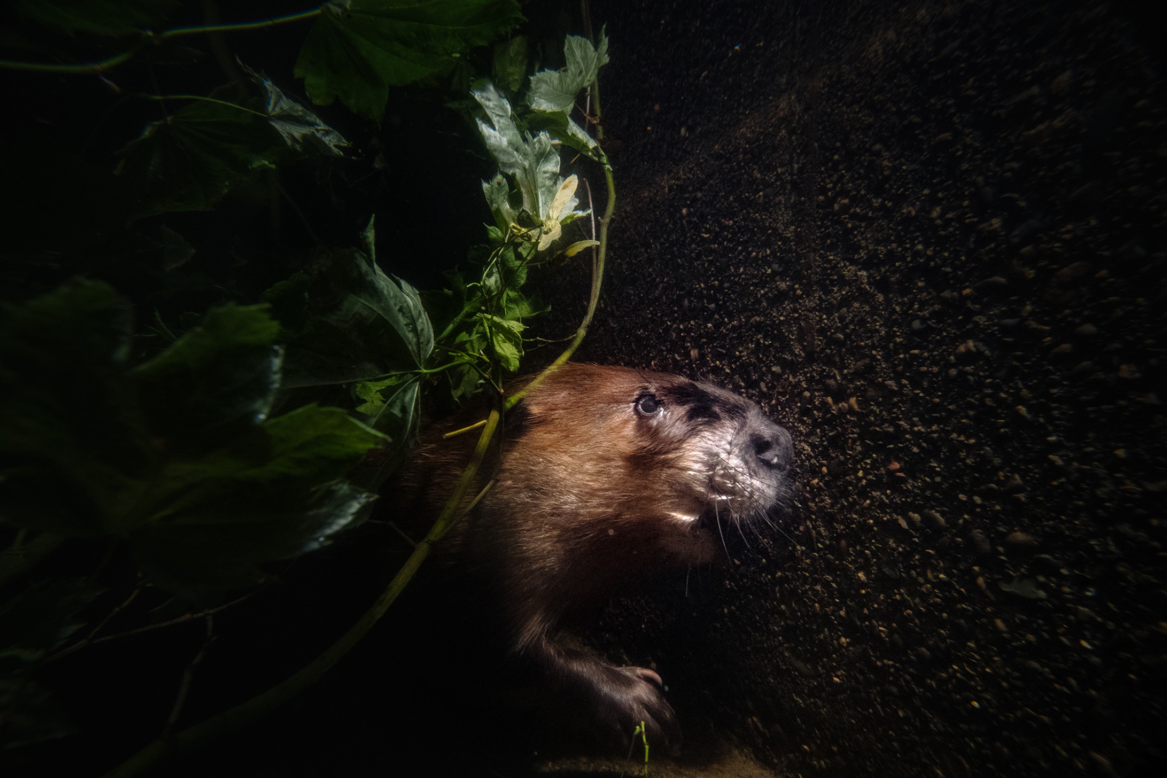 A beaver swims underwater along a raceway in the Tulalip fish hatchery prior to its release back into the wild.