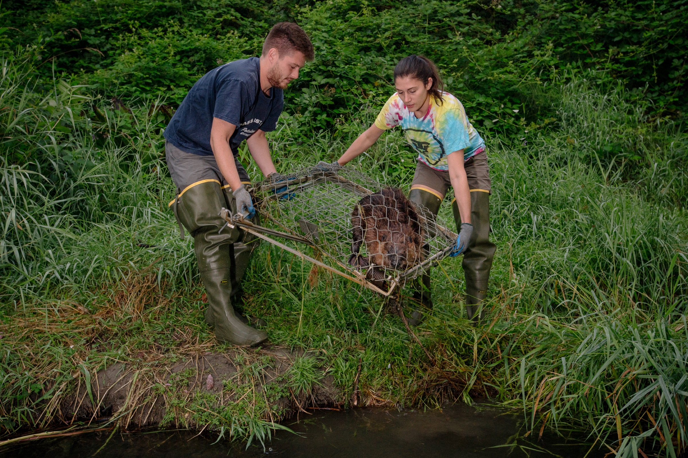 Biologists Molly Alves and David Bailey haul a trapped beaver out of a stream that flows through a North Seattle suburb.