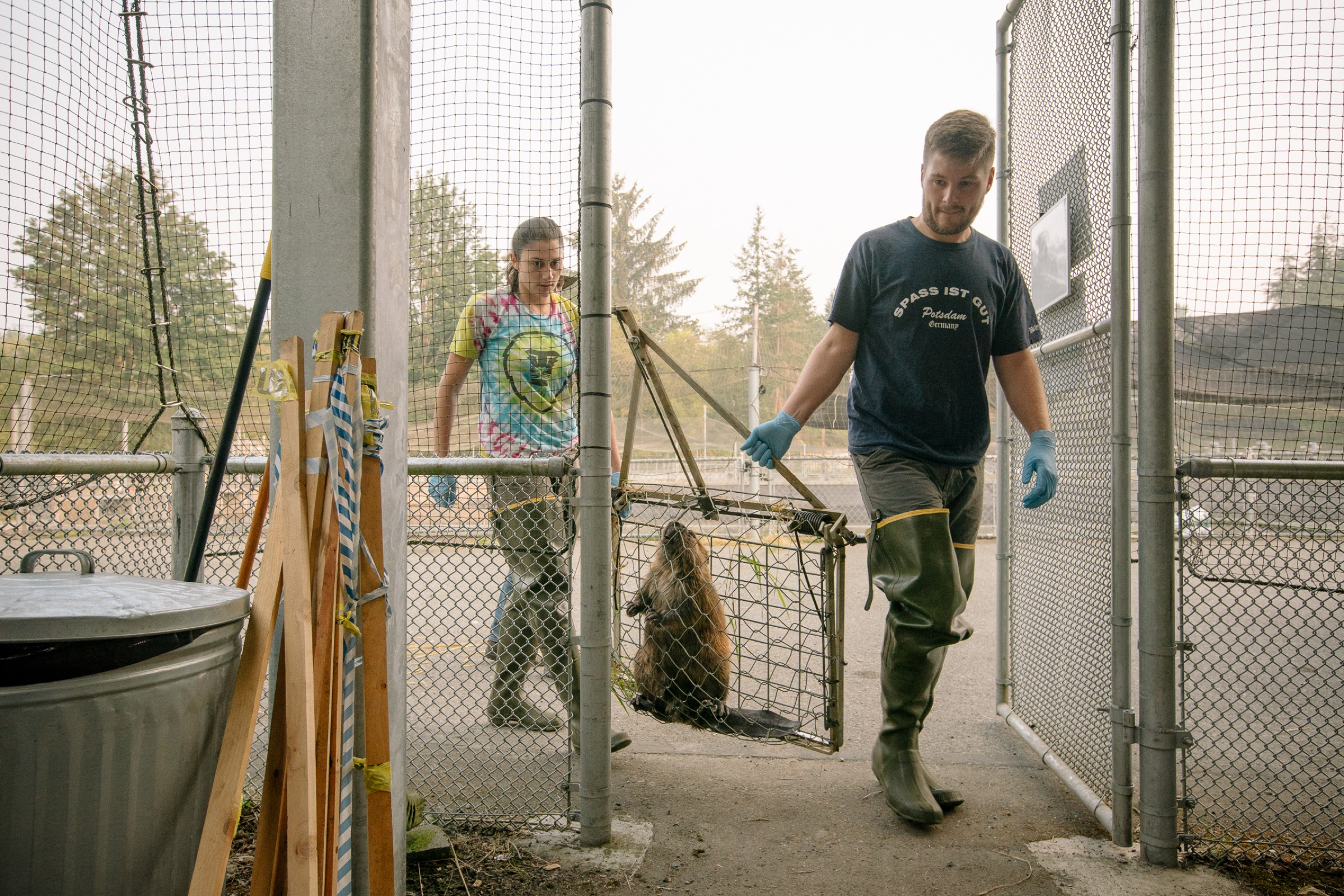 After processing, biologists Molly Alves and David Bailey carry a trapped beaver toward one of the Tulalip fish hatchery raceways where the rodent will bide its time until it is released back into the wild.