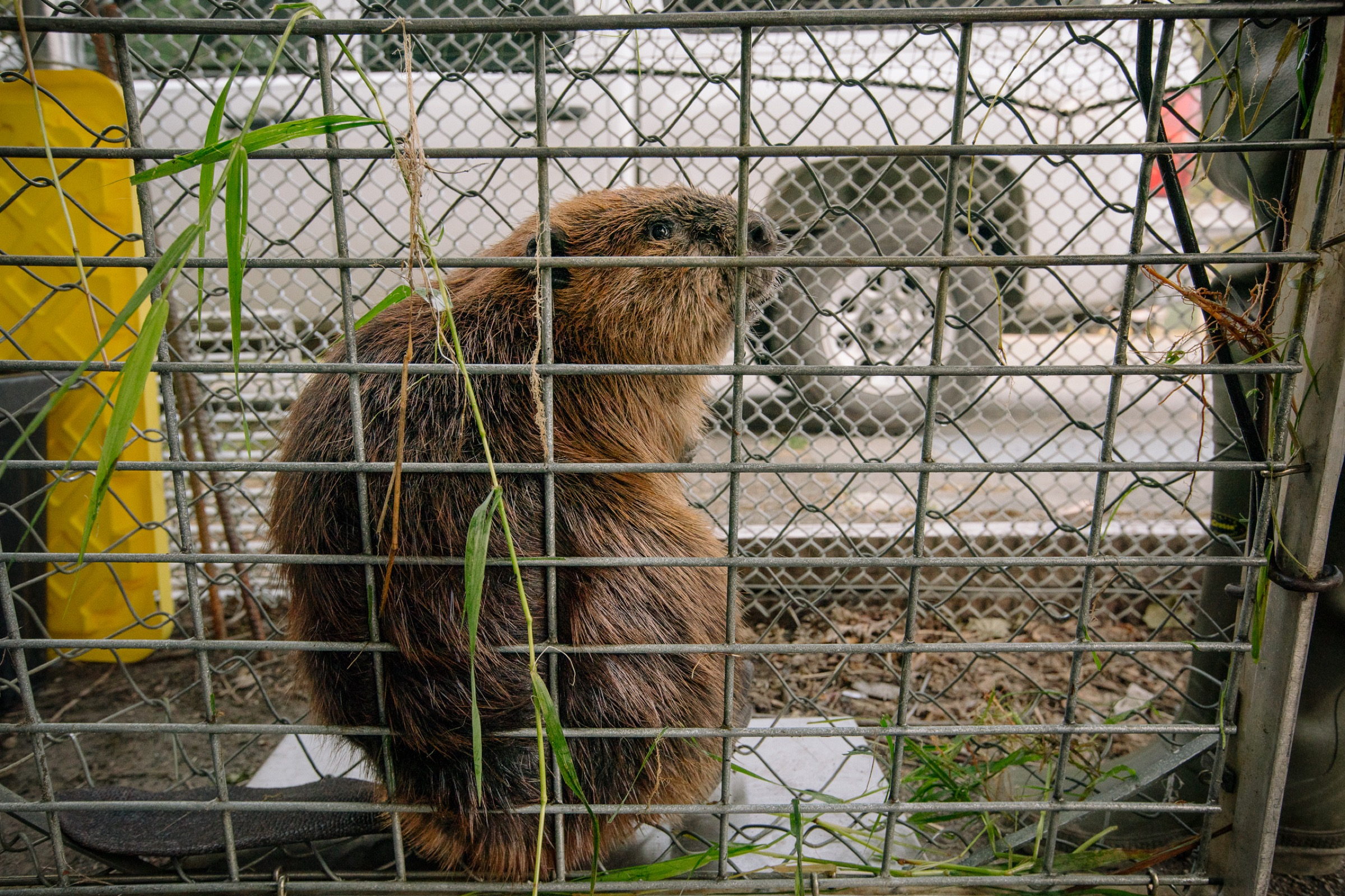 Biologists weigh and process a freshly caught beaver that will stay at the Tulalip Tribe's fish hatchery until it can be paired up with other beavers and released back into an area where its ecological engineering prowess will be better appreciated.