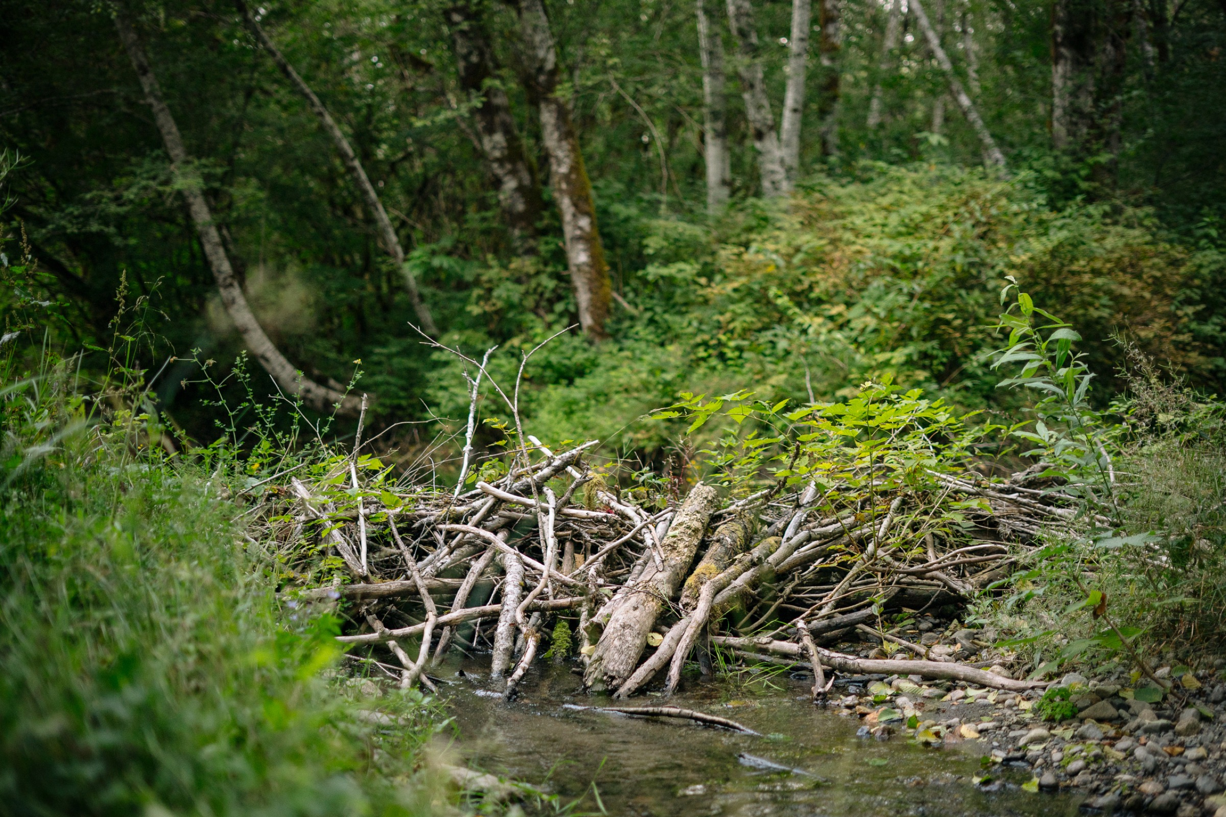 Given a head start by Tulalip Tribe biologists, beavers have continued transforming this string-straight stream into prime habitat for young salmon and many other creatures.