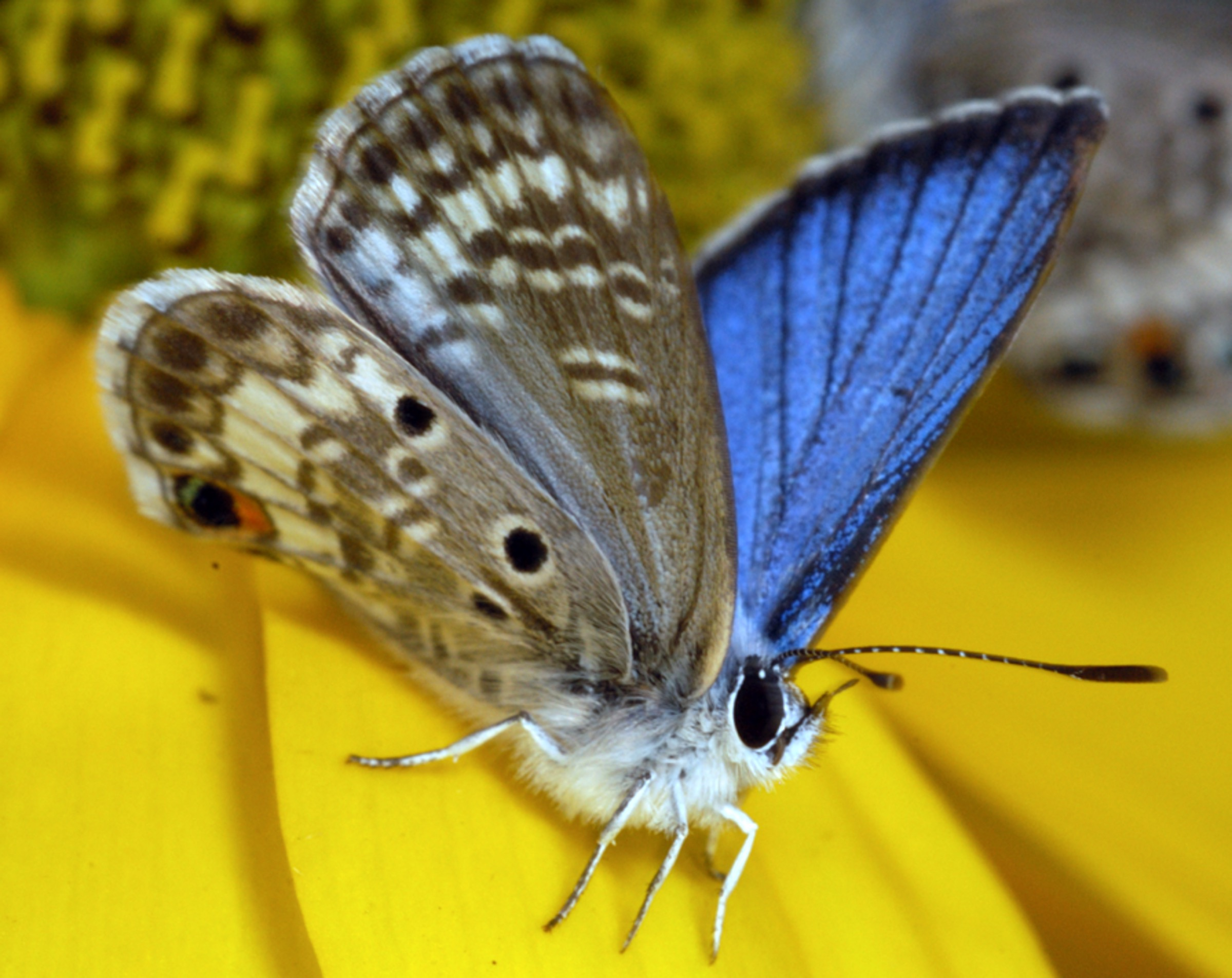 A male Miami blue butterfly (<em>Cyclargus thomasi bethunebakeri</em>) shows off its brilliant colors. Photograph by Jaret C. Daniels